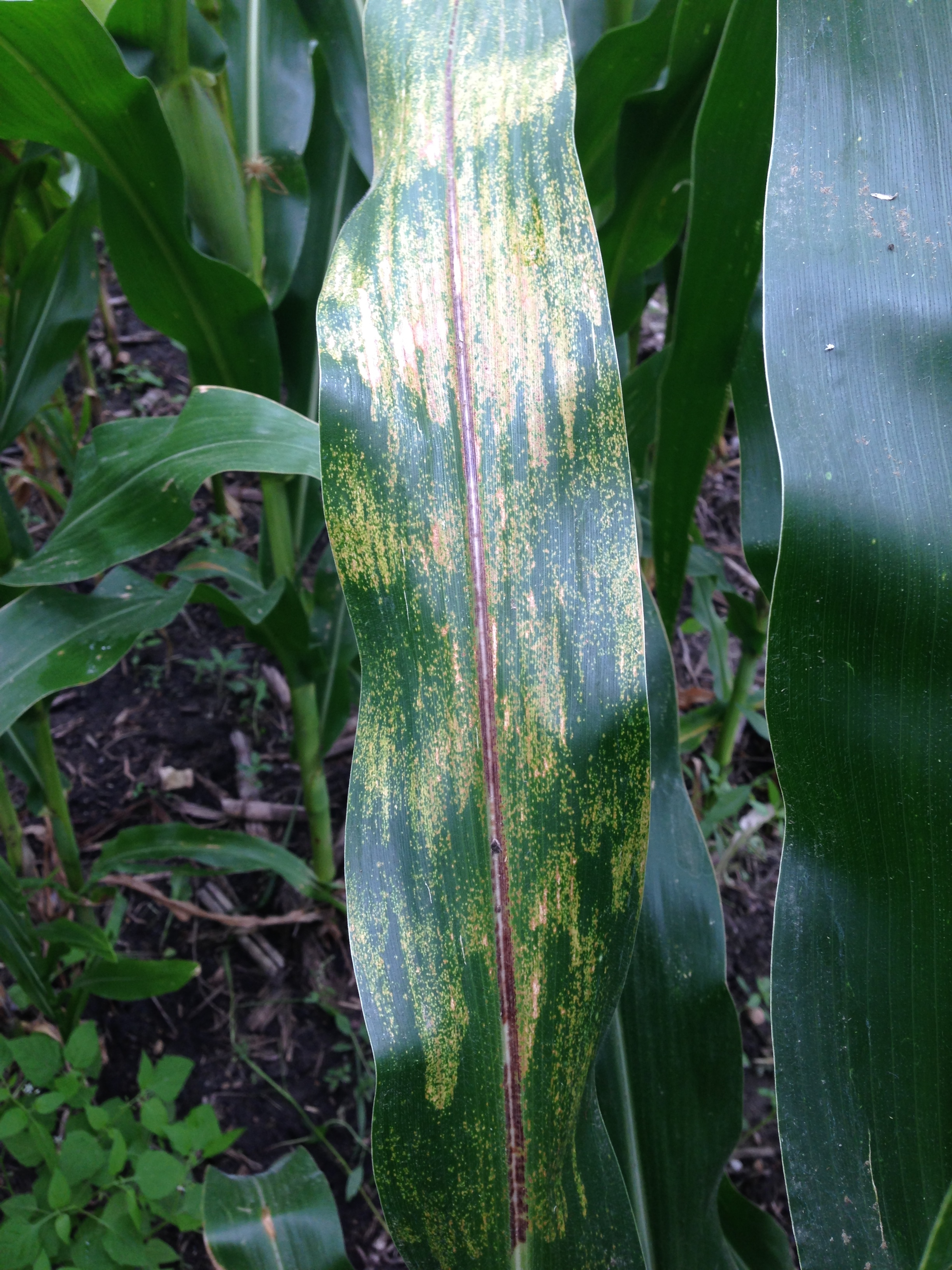 Physoderma brown spot lesions appearing in 'bands' across the leaf surface.