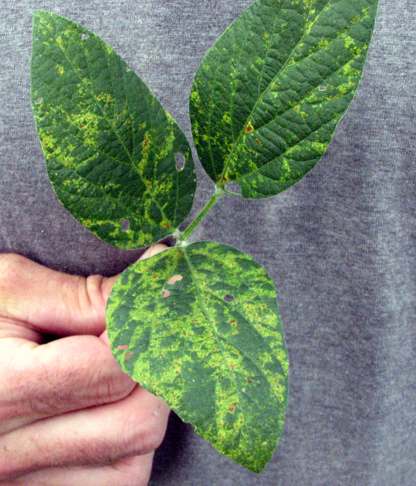 Patterns of bright yellow and dark green leaf tissue symptomatic of alfalfa mosaic.