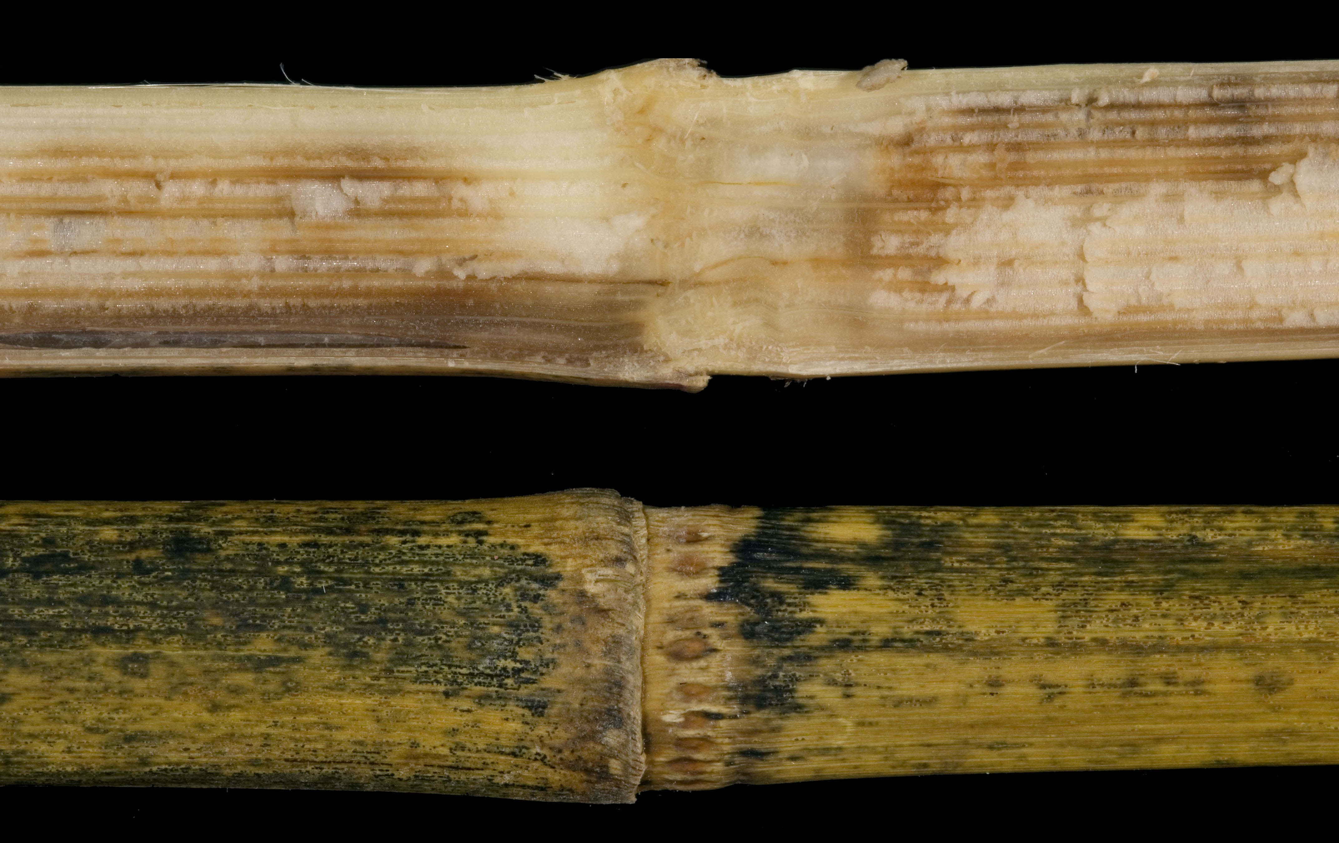 Anthracnose stalk rot symptoms include interior and exterior stalk discoloration.