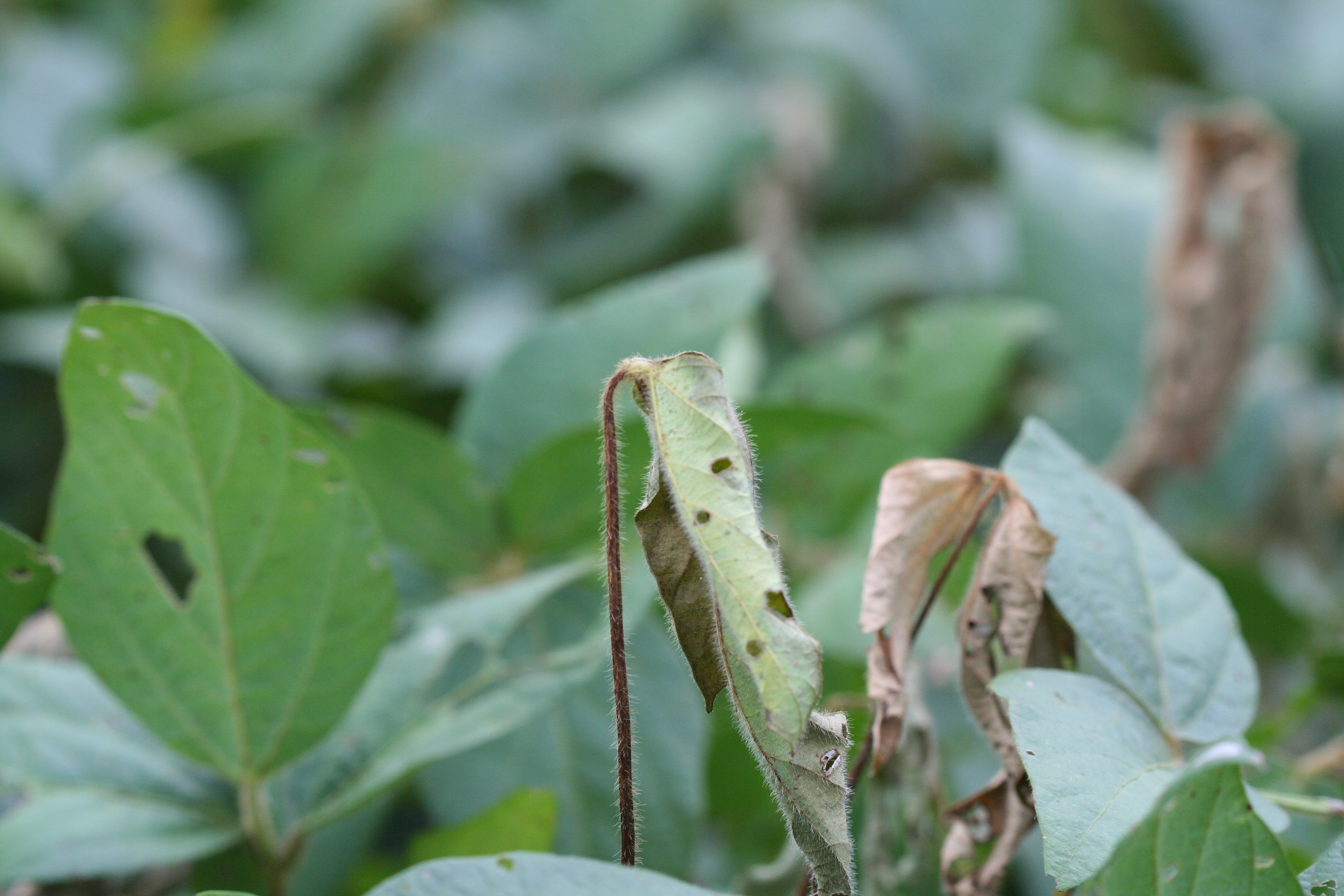 Shepherd's crooking of foliage is a symptom of anthracnose stem blight.
