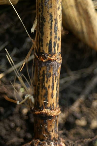 Dark lesions on the stalk exterior from anthracnose stalk rot.