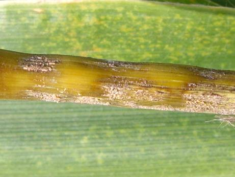 Spore masses on the stalk above the ear sometimes observed with anthracnose stalk rot.