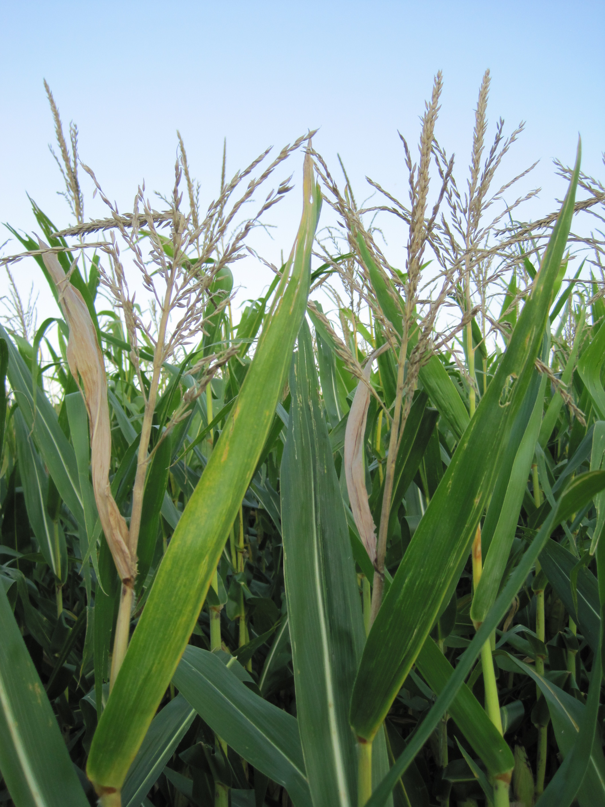 Stalk death above the ear can also be a symptom of anthracnose stalk rot.