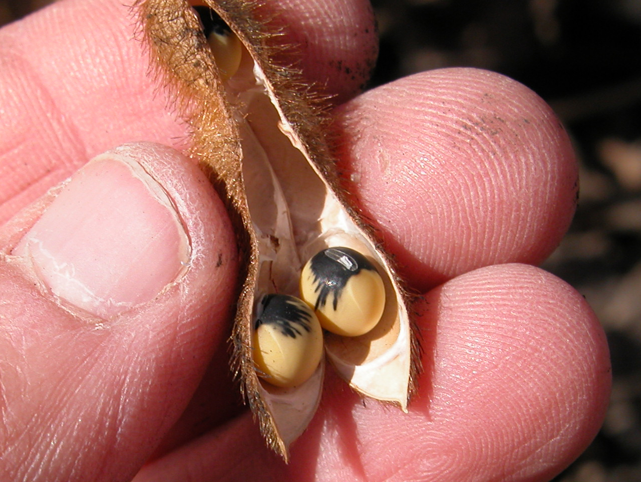 Bean pod mottle may cause seed mottling.