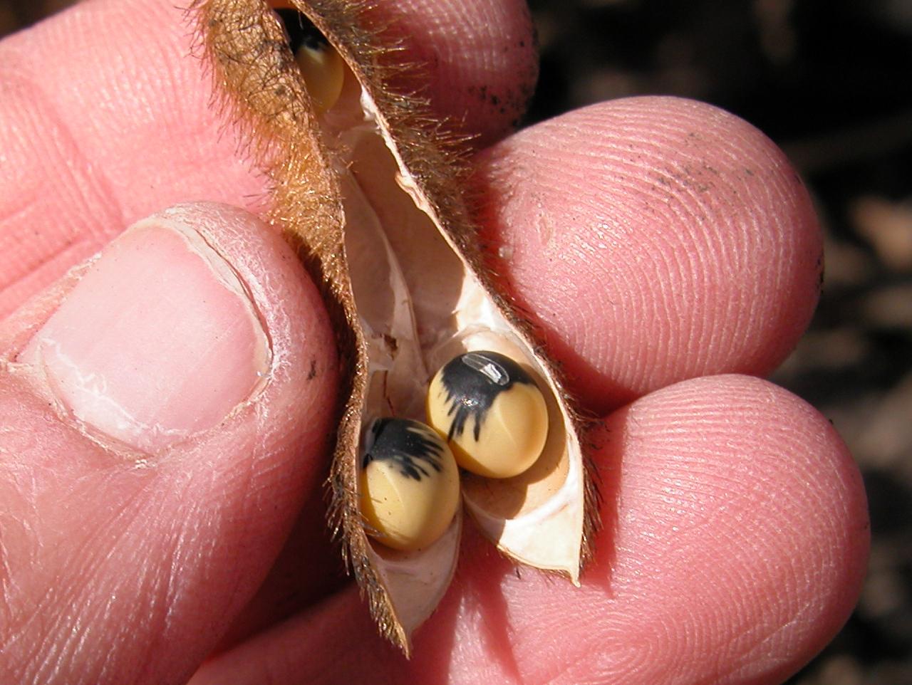 Bean pod mottle may cause seed mottling.
