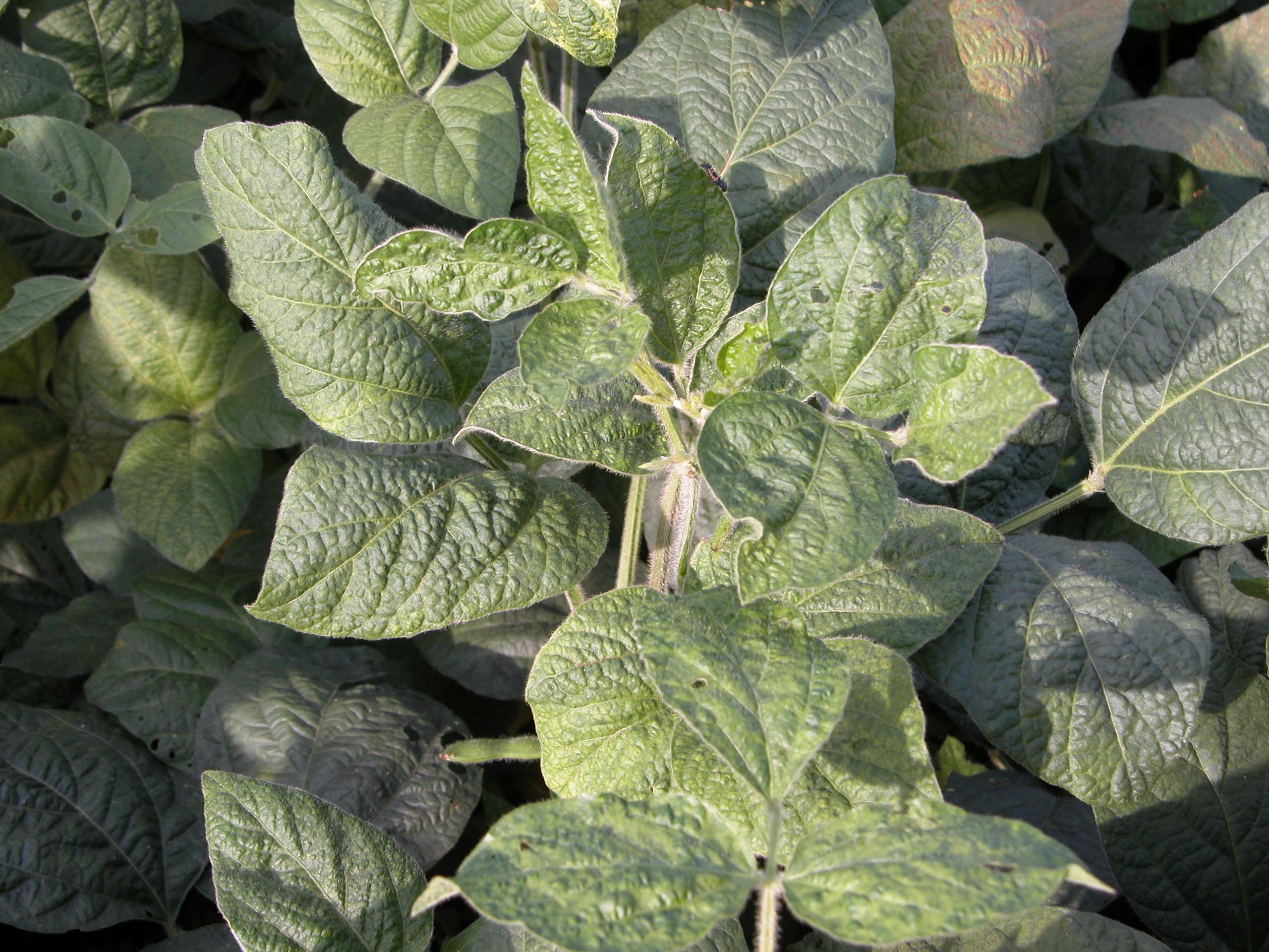 Foliar symptoms of bean pod mottle.