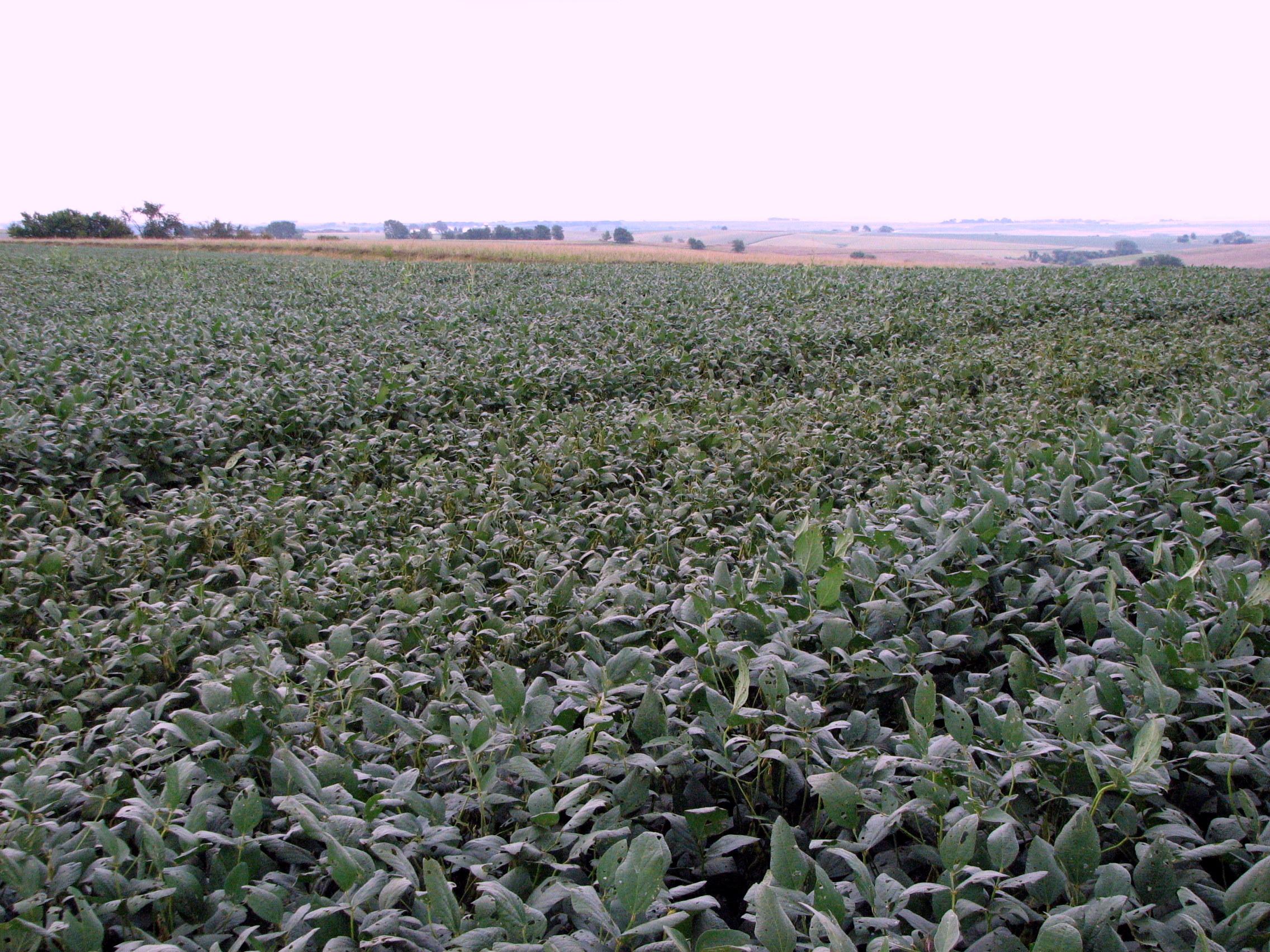 Soybean plants with bean pod mottle.