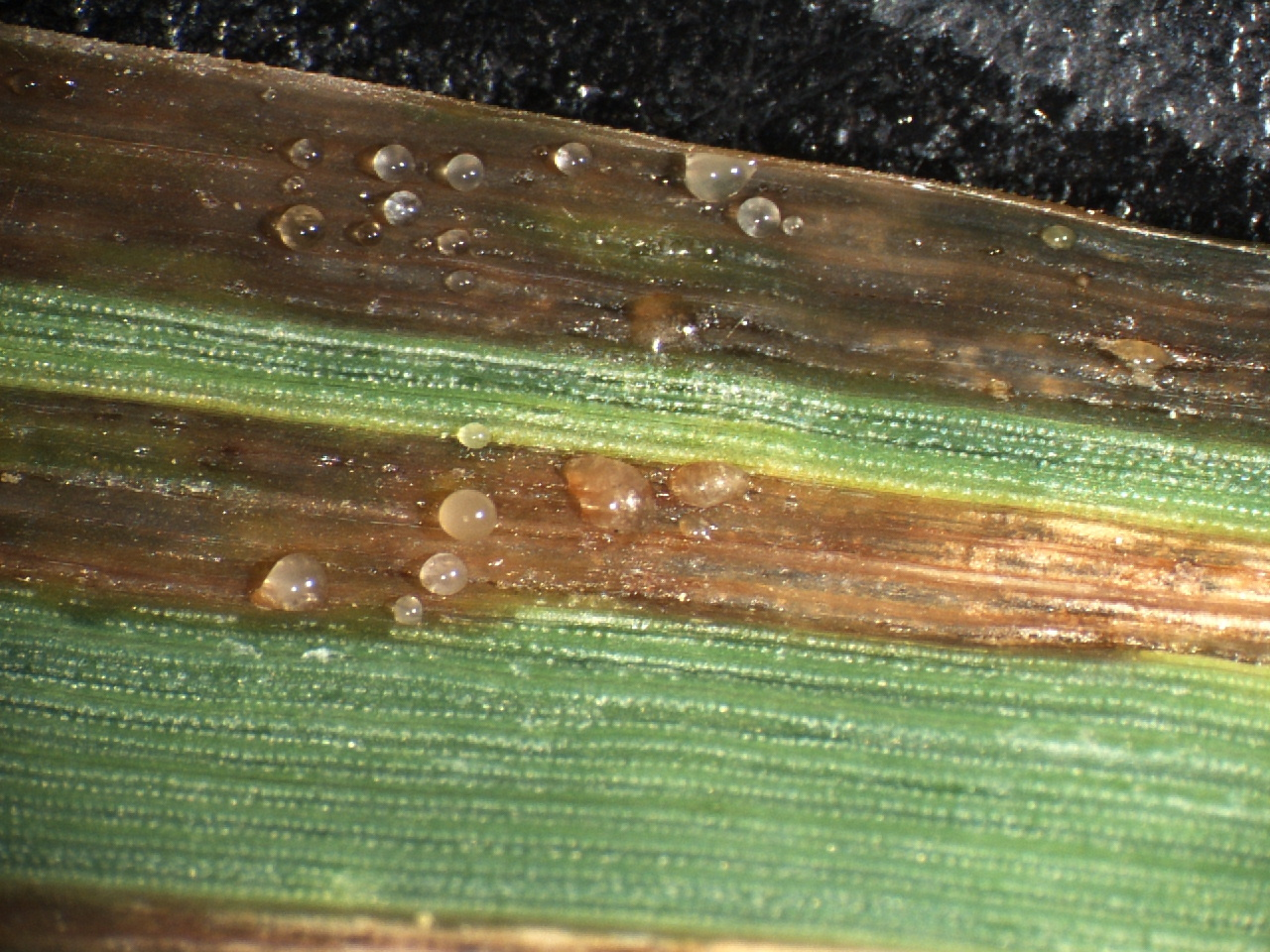 Bacterial leaf blight lesions with bacterial exudate.