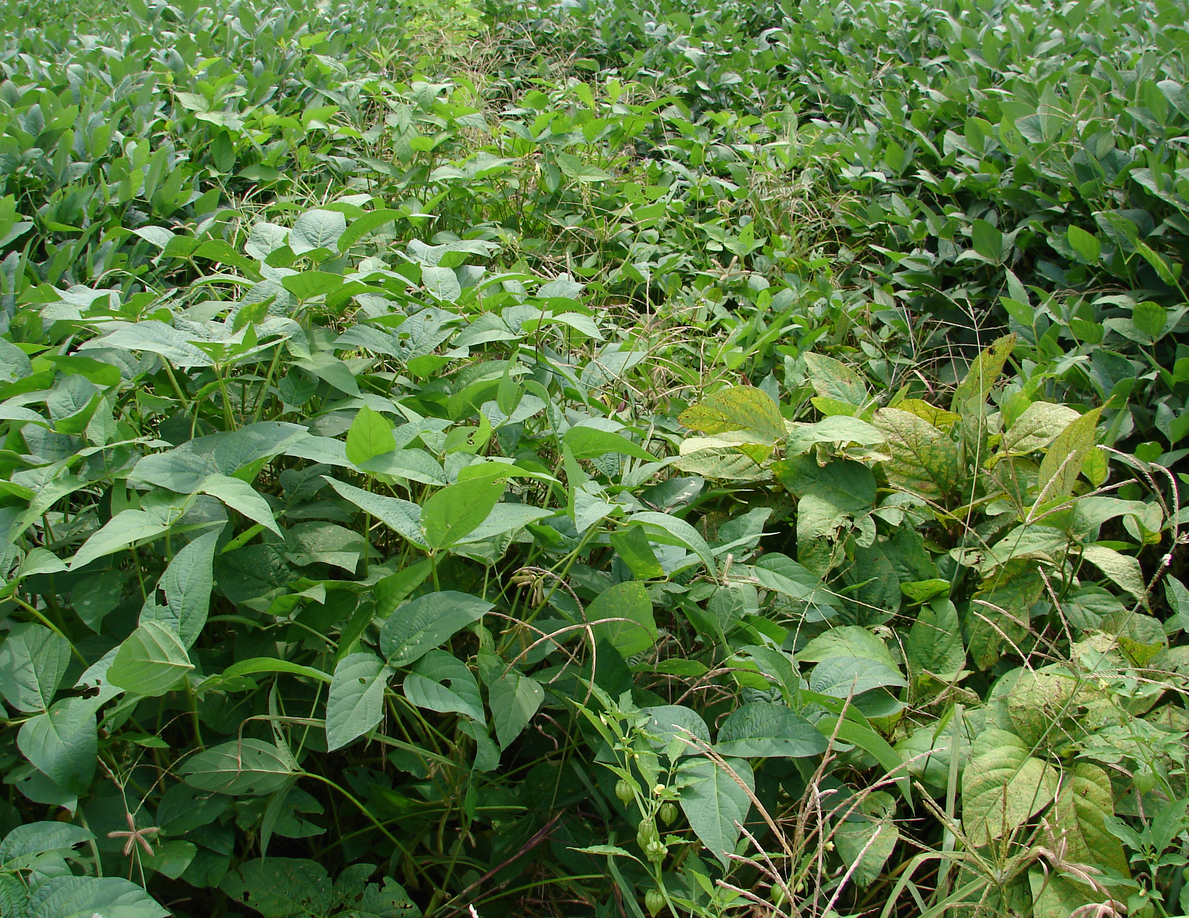 Soybean plant canopy with bacterial pustule.