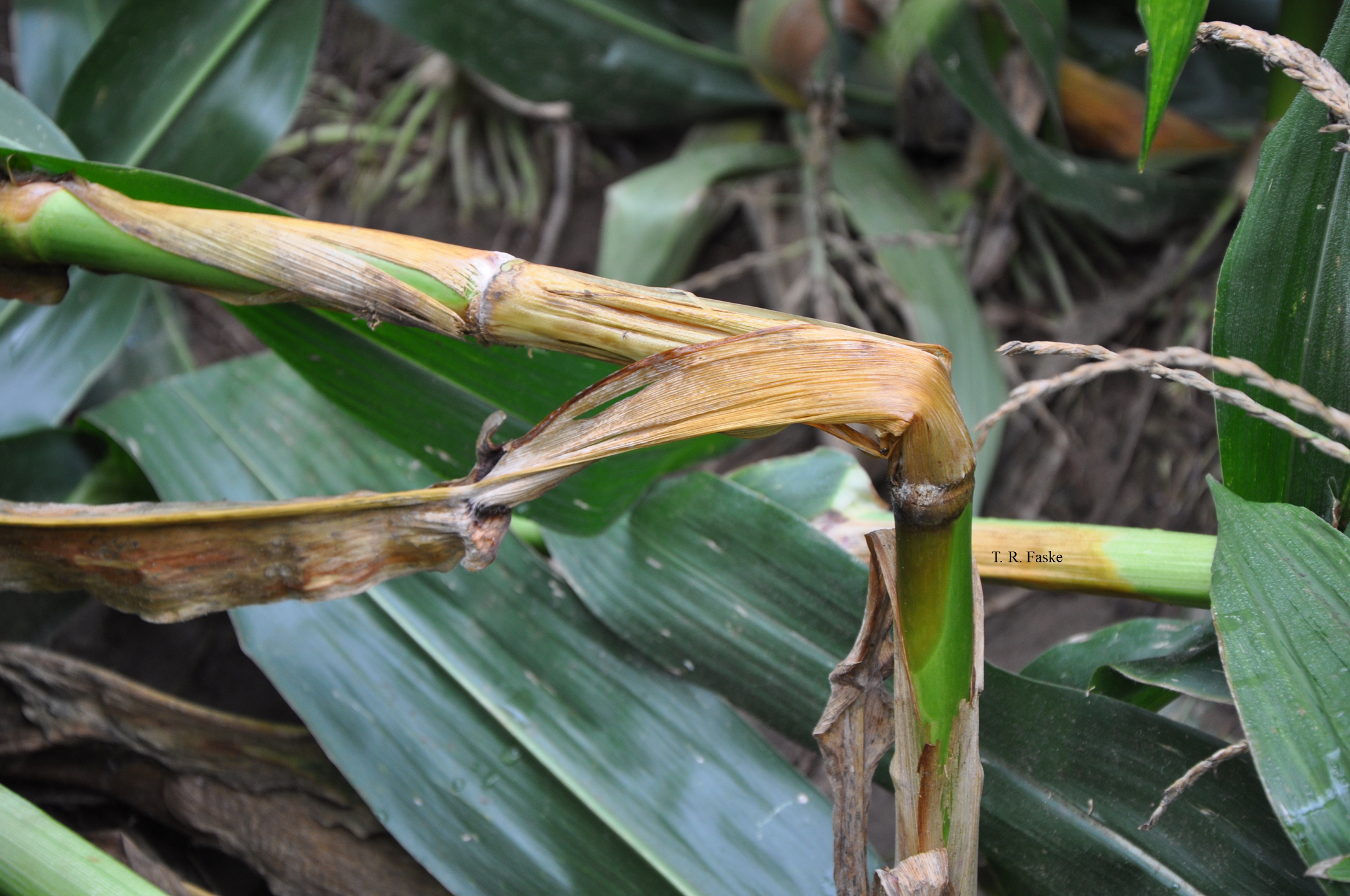 Bacterial stalk rot can cause stalks to twist and fall over. Note watersoaking below internode.
