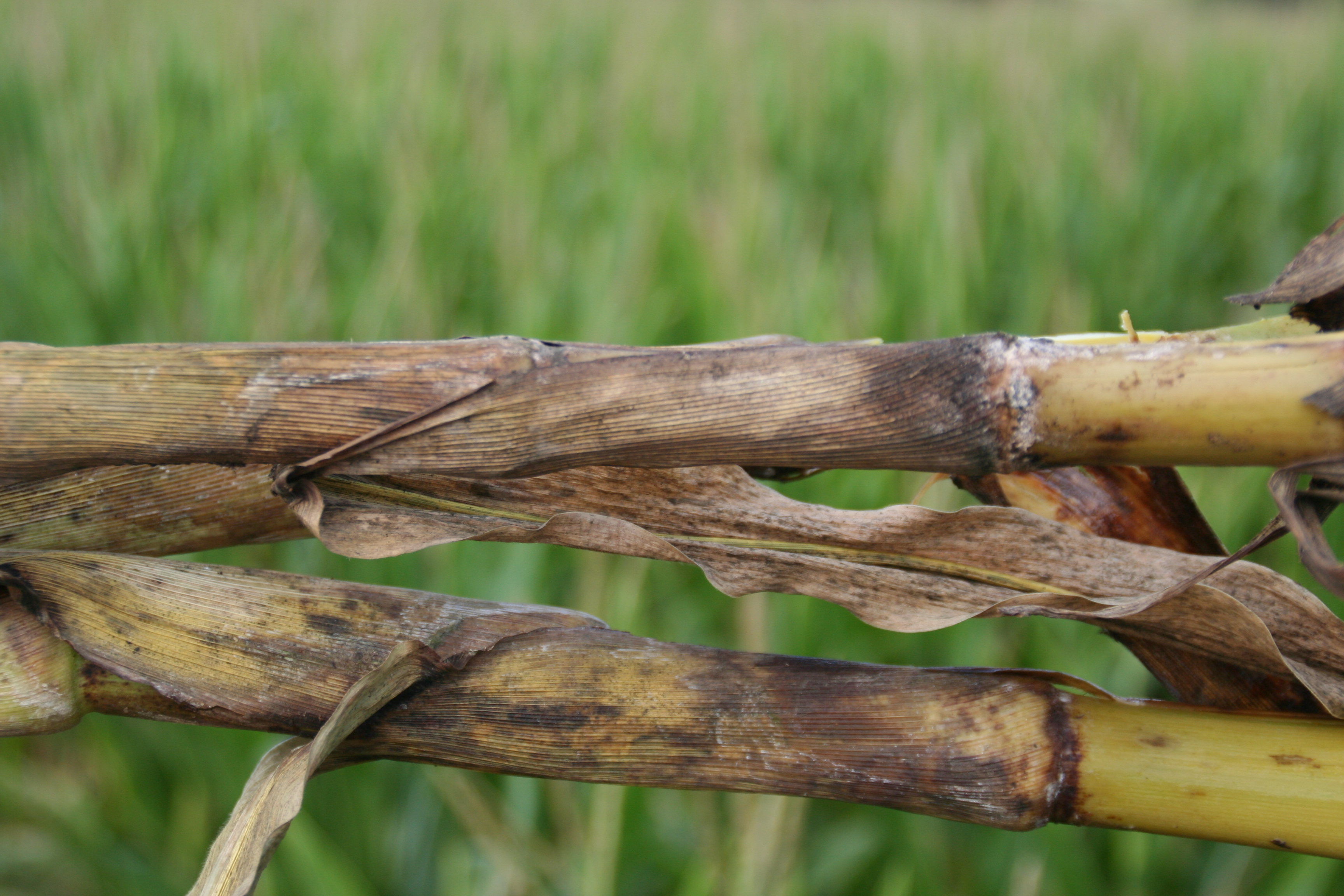 Stalk discoloration of plants with bacterial stalk rot.