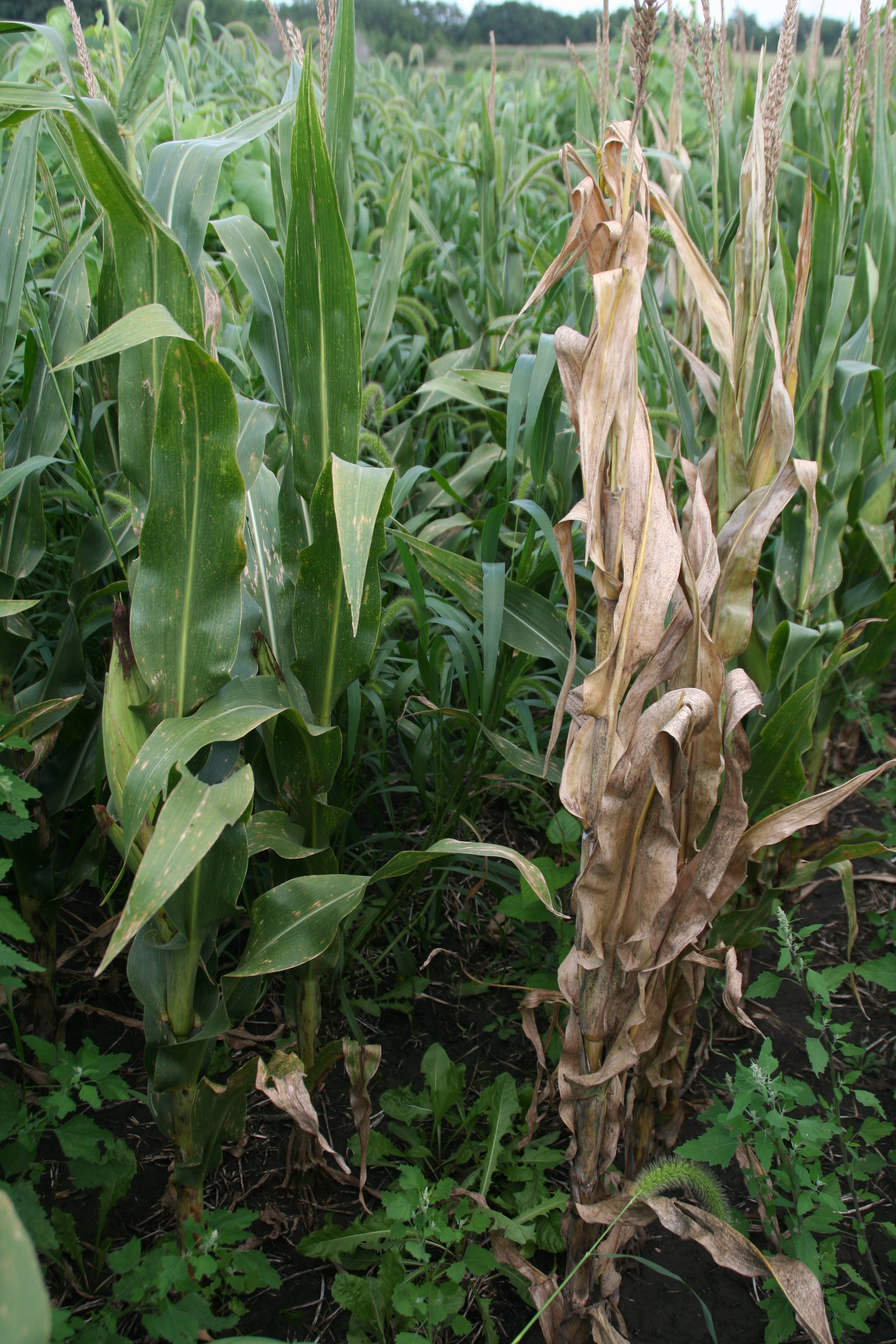 Plant death due to bacterial stalk rot.