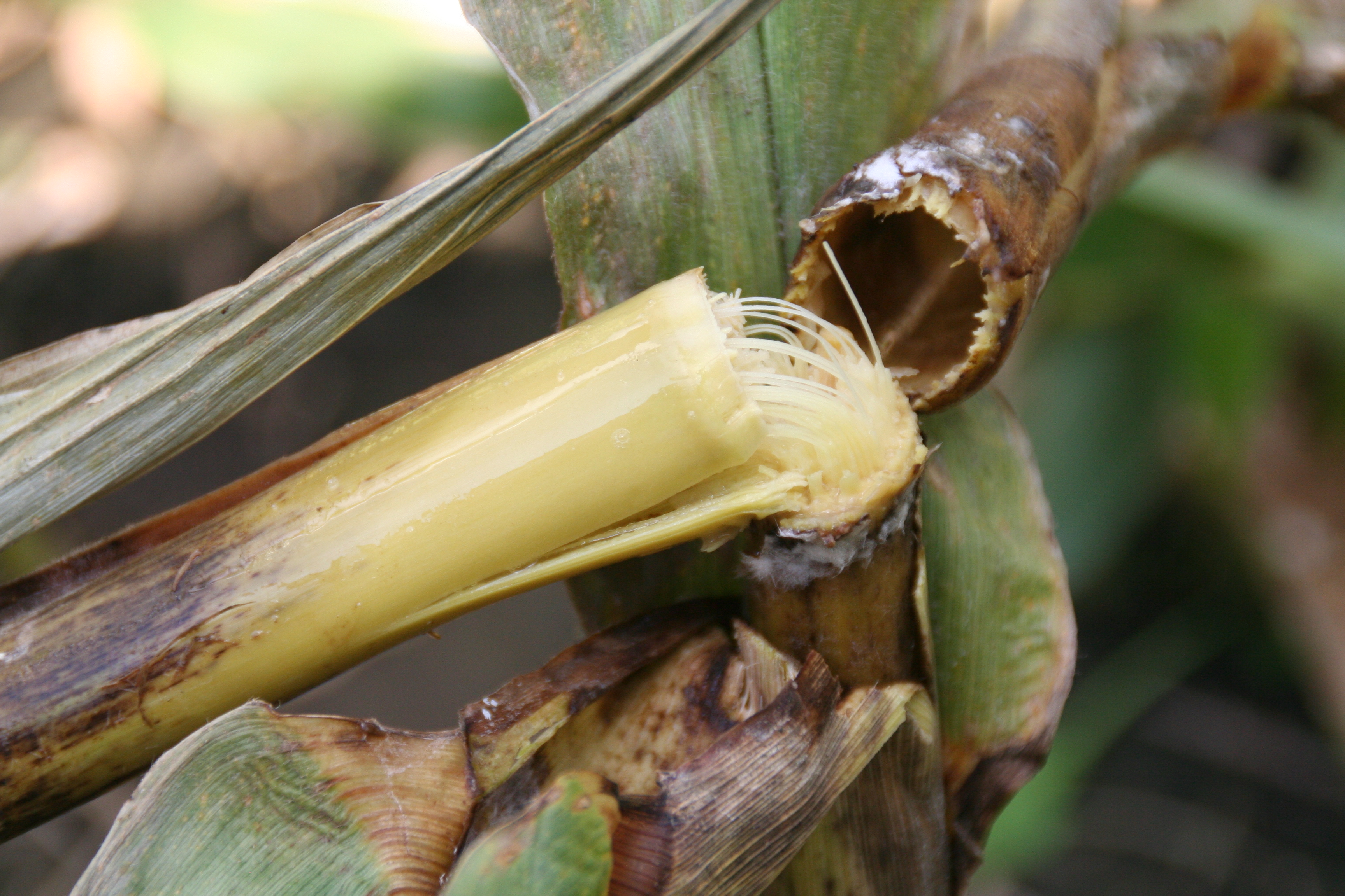 Bacterial stalk rot typically causes stalks to twist and fall over.