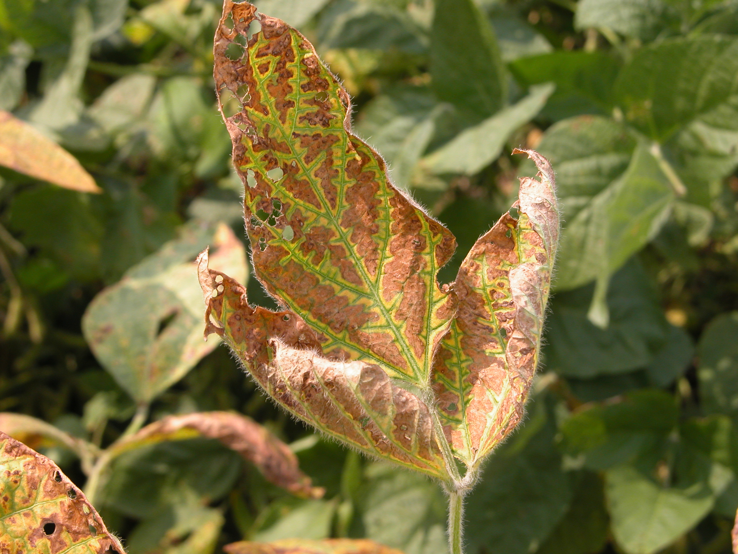Foliar symptoms of brown stem rot can be confused with sudden death syndrome.