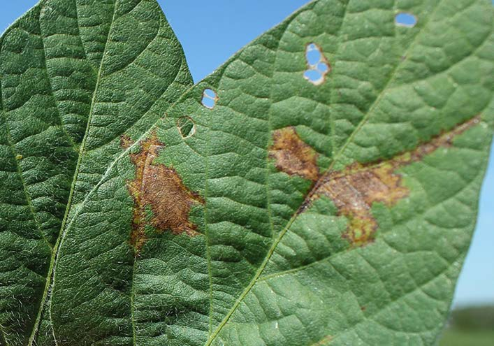 As disease progresses, lesions become red-brown and leaf tissue dies.