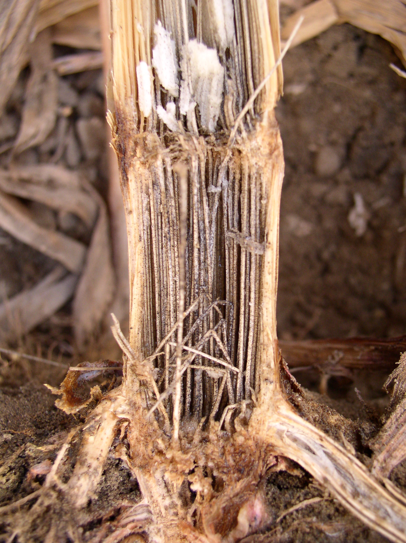 Charcoal rot causes disintegration of pith tissue as well as formation of microsclerotia.