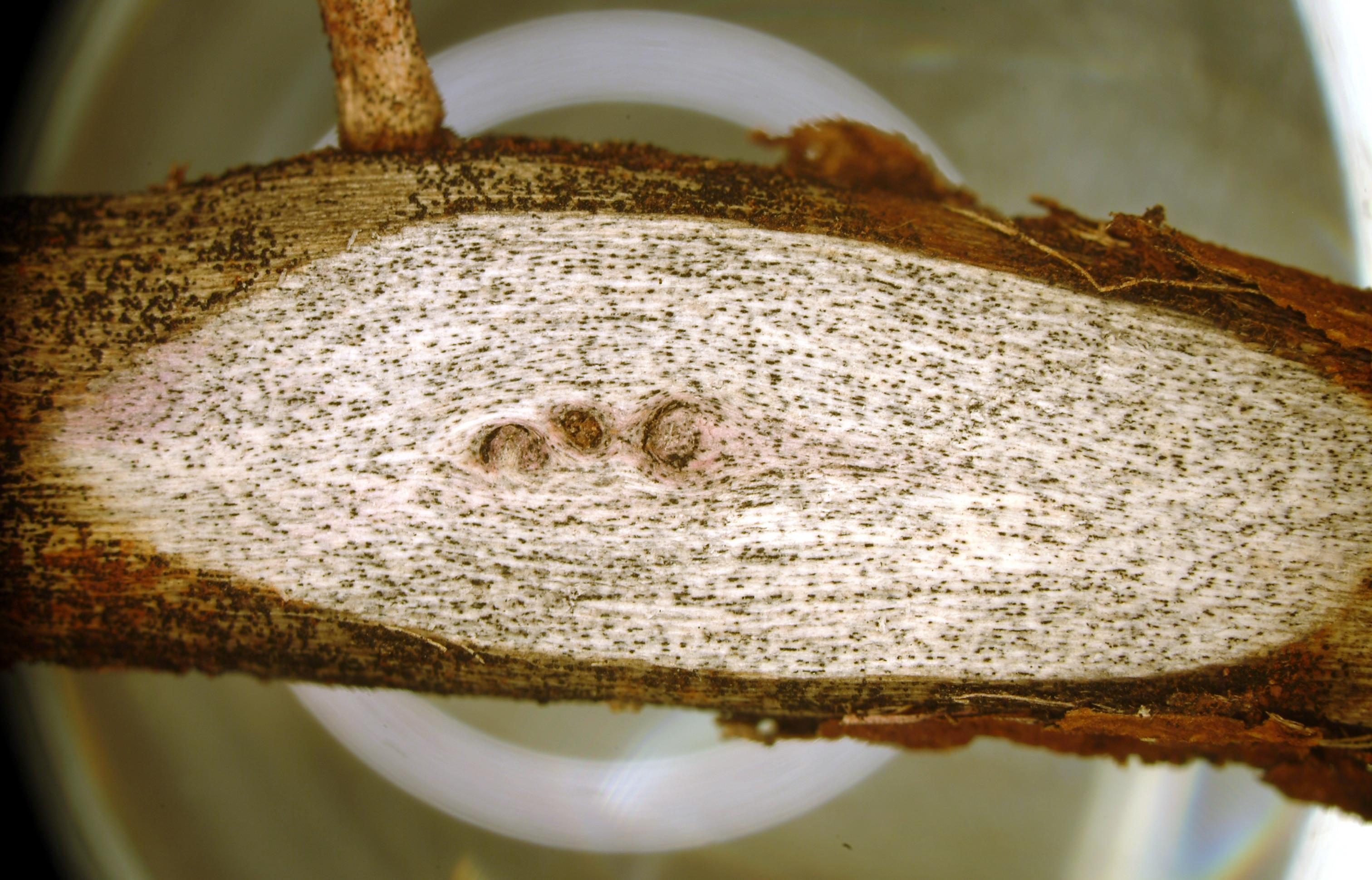 Macrophomina phaseolina microsclerotia in plant tissue.
