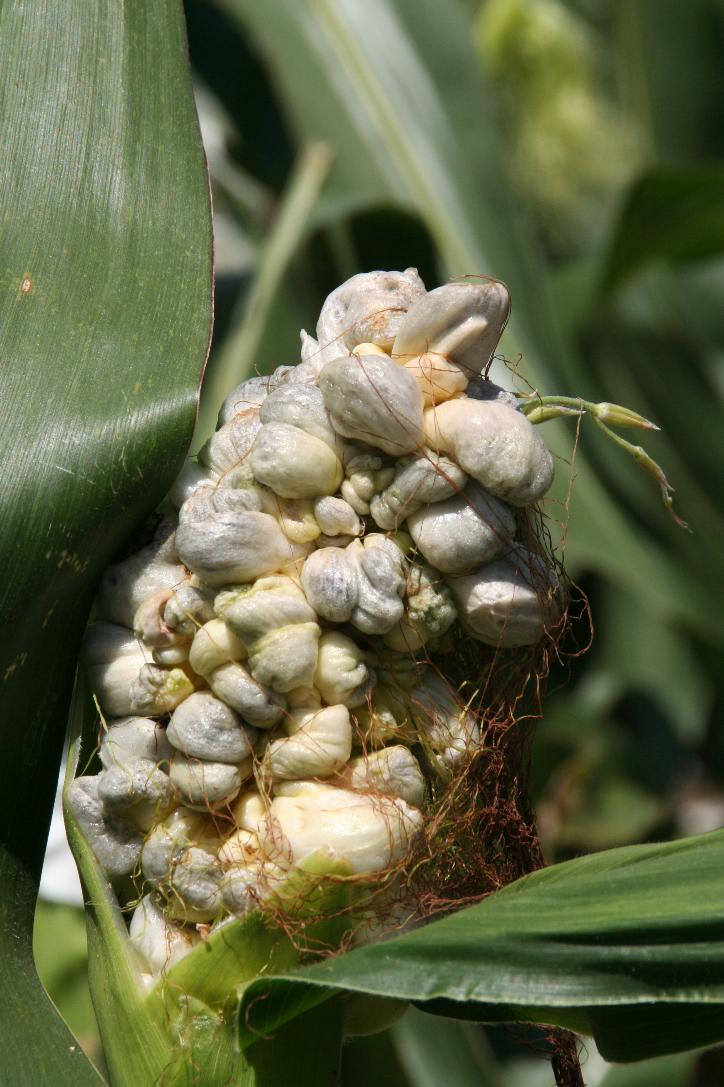 Common smut galls forming on ear.