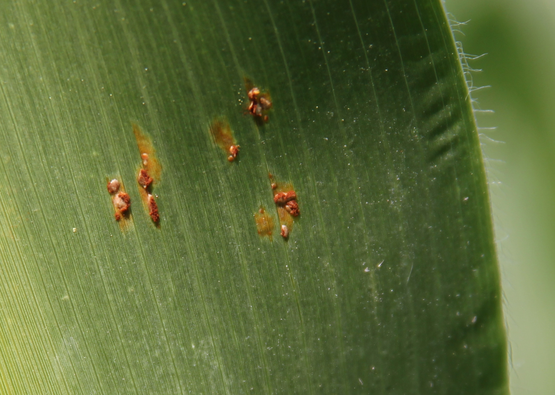 Common rust pustules erupting with brick-red spores.