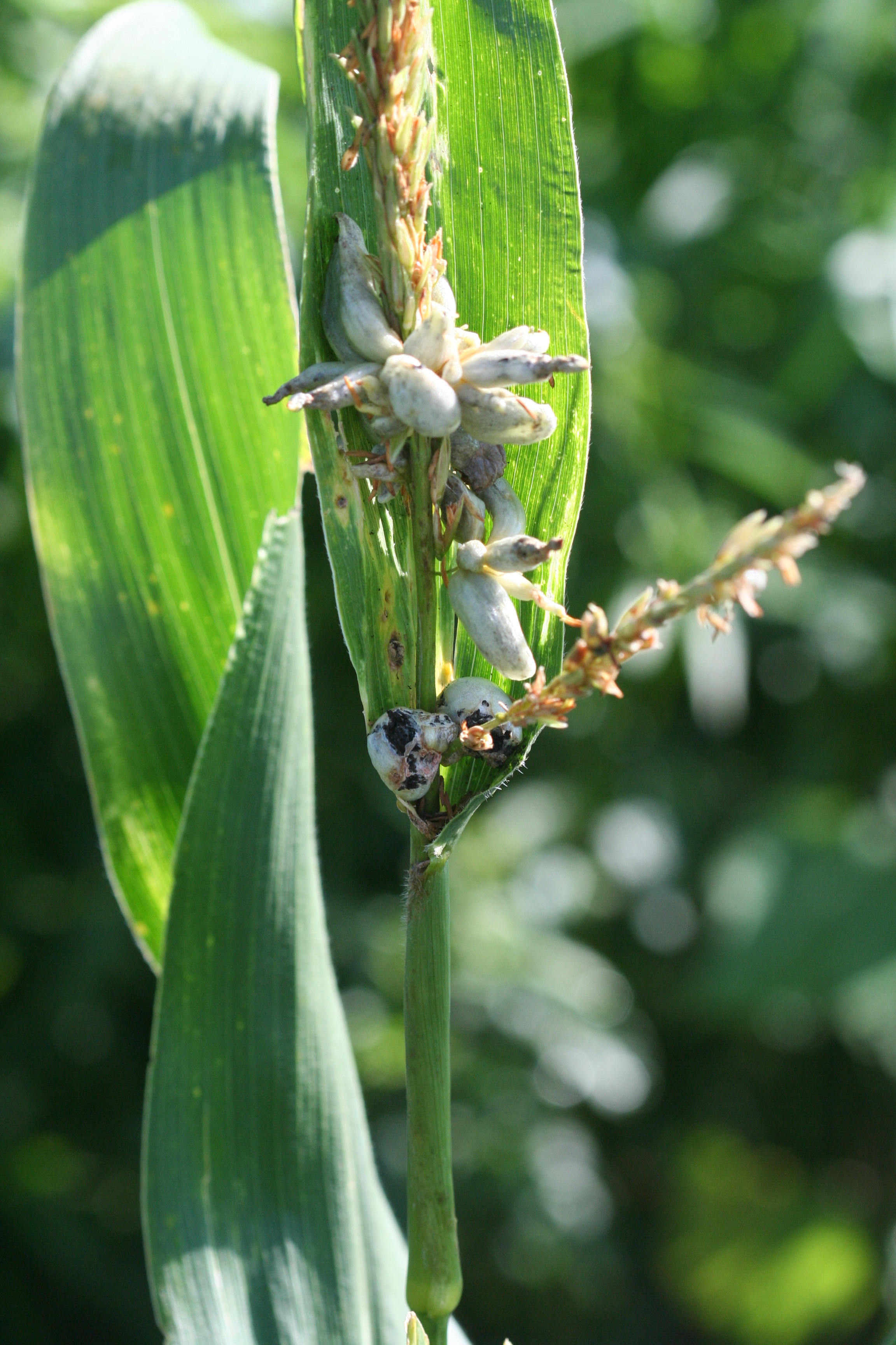 Common smut galls forming on the tassel.