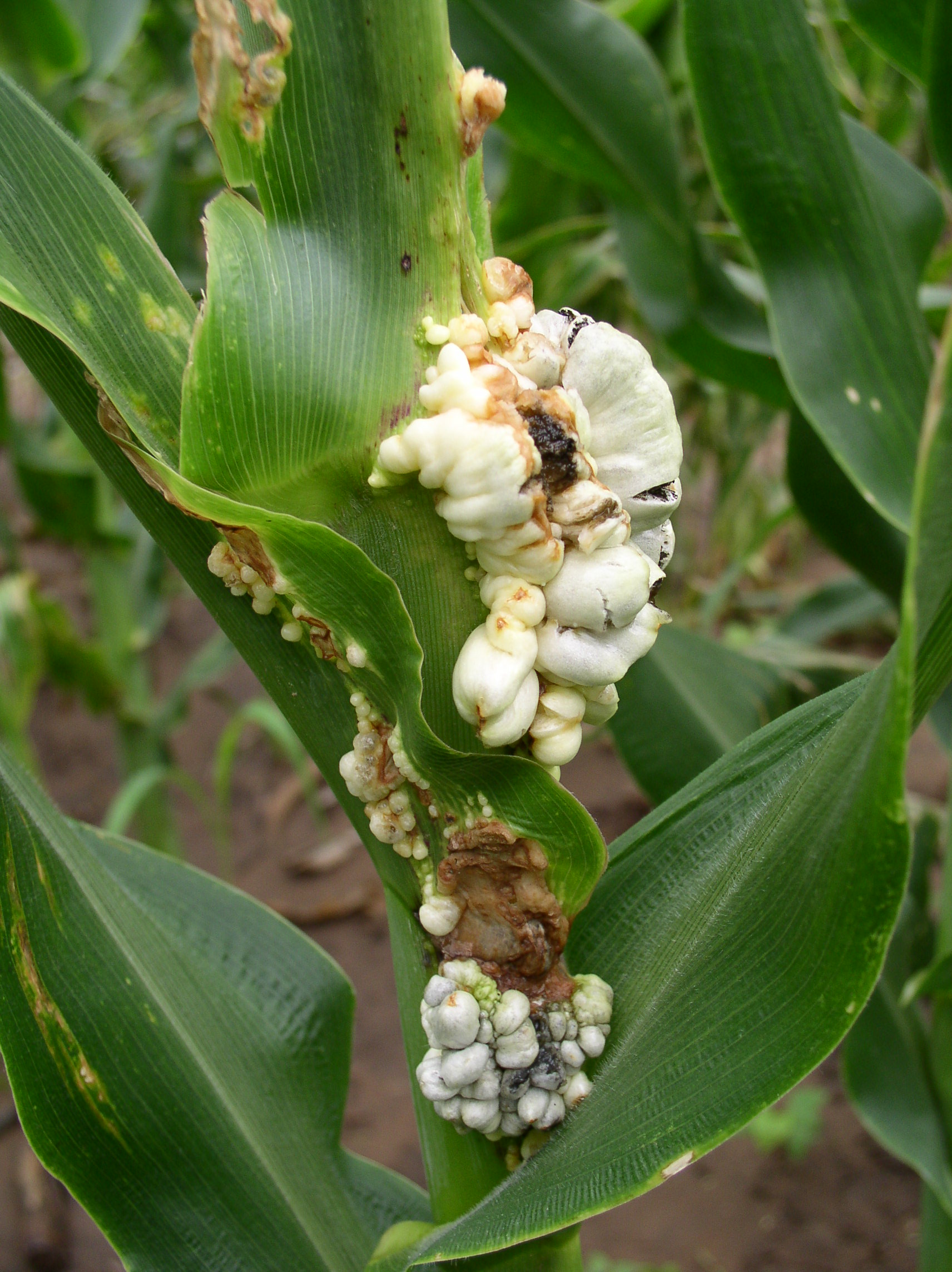Common smut galls can form on stalks, leaves, ears, and tassels.