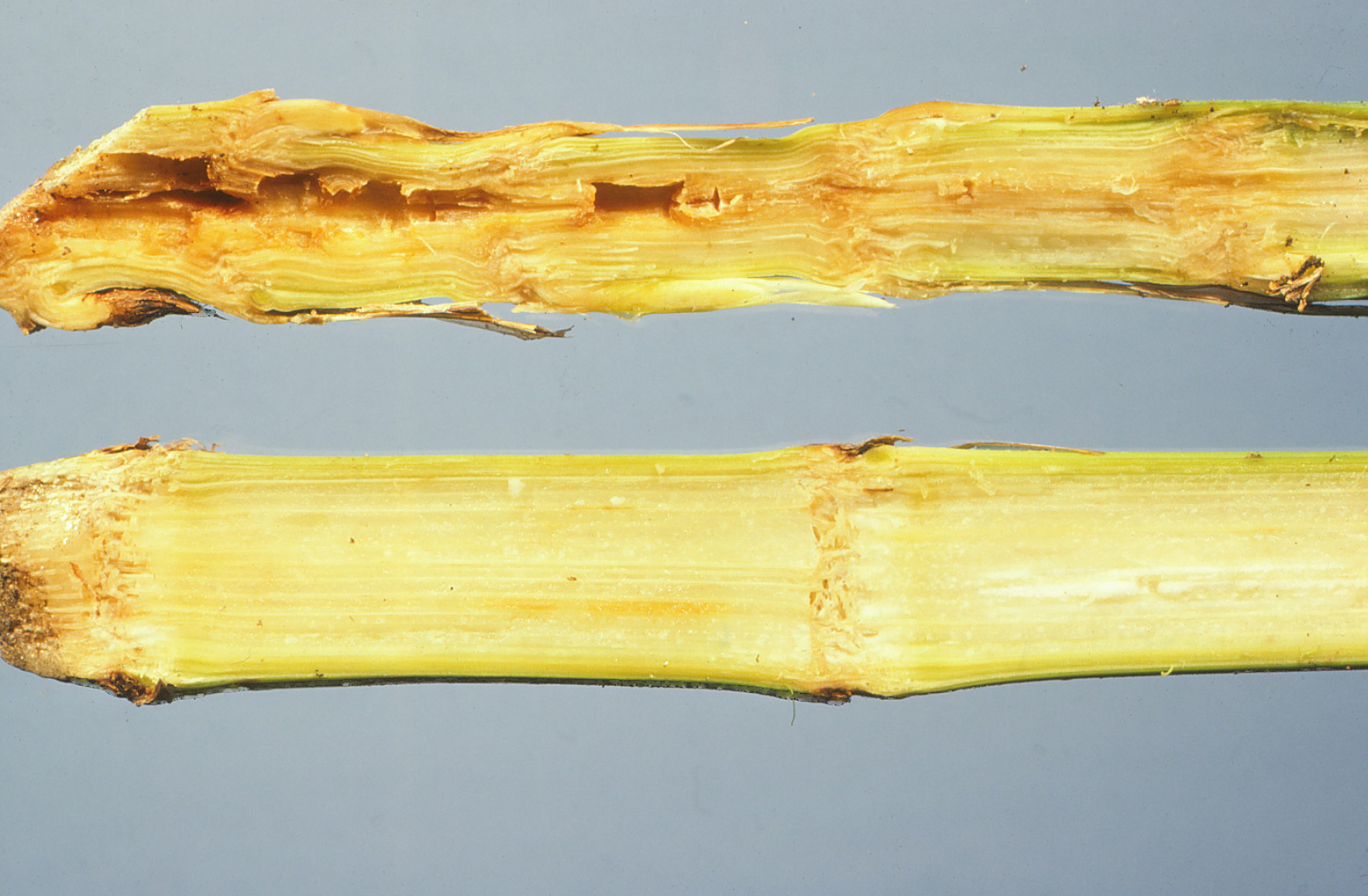 Goss's wilt stalk symptoms.