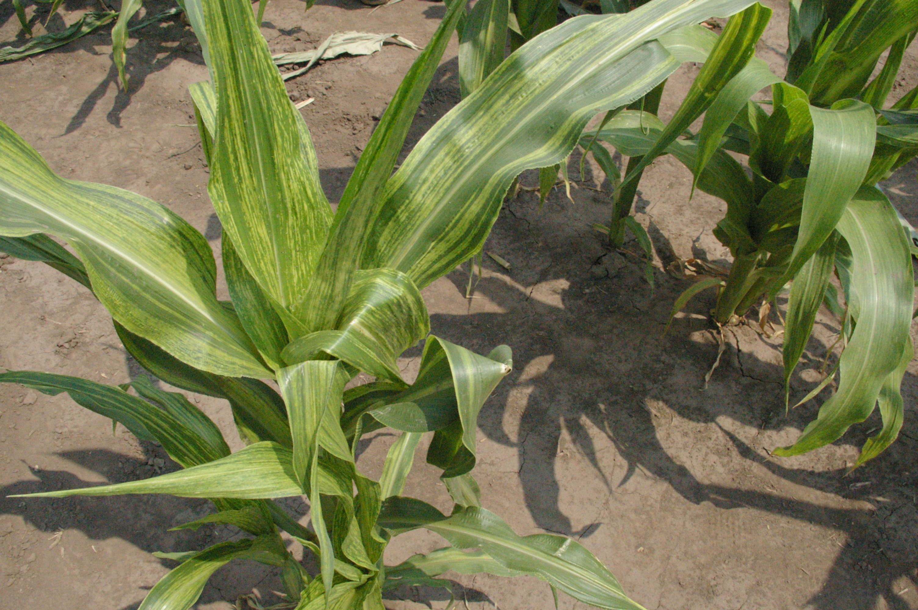 Yellowish streaks on leaves symptomatic of maize dwarf mosaic.