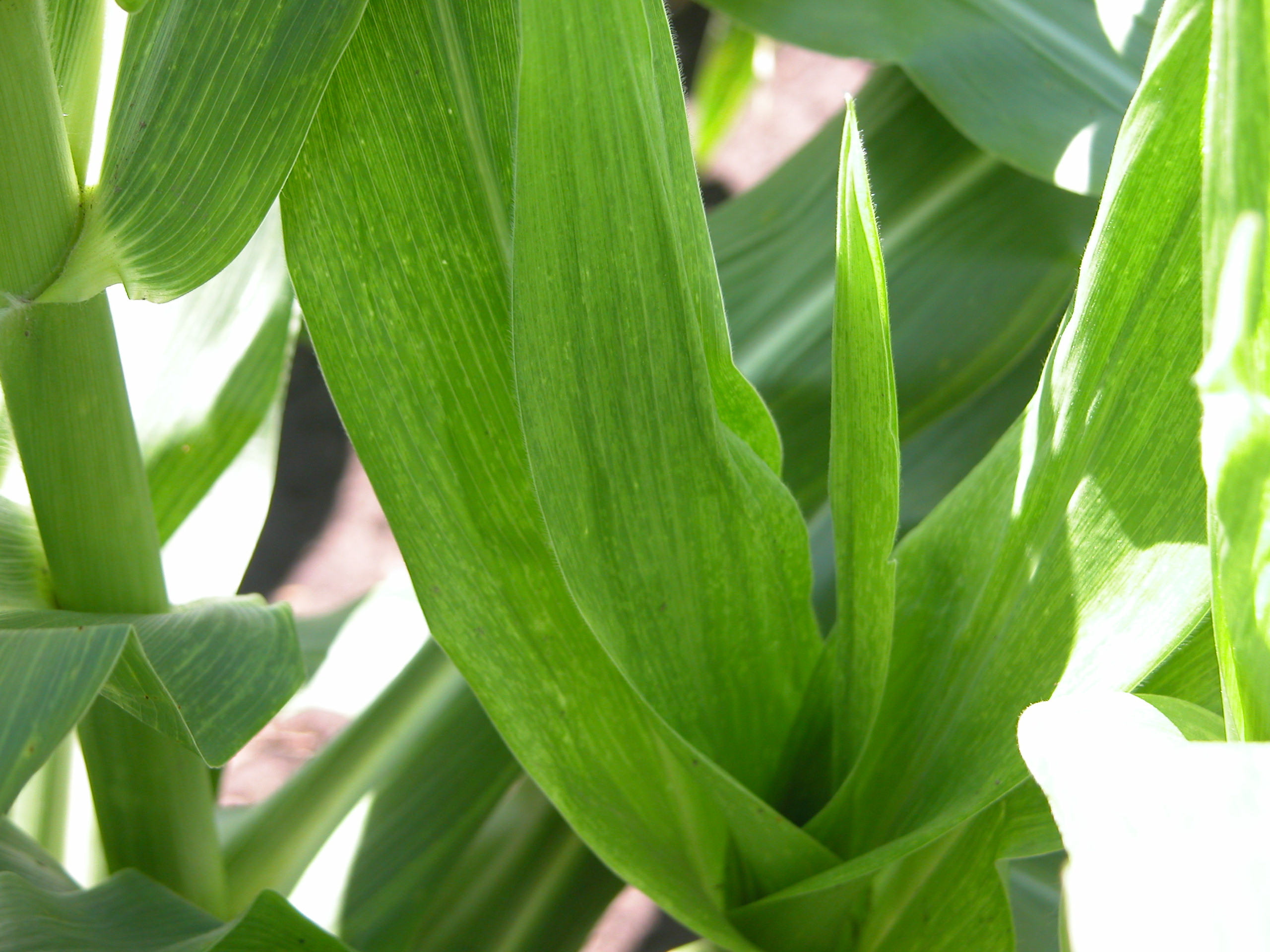 Leaf discoloration from maize dwarf mosaic.