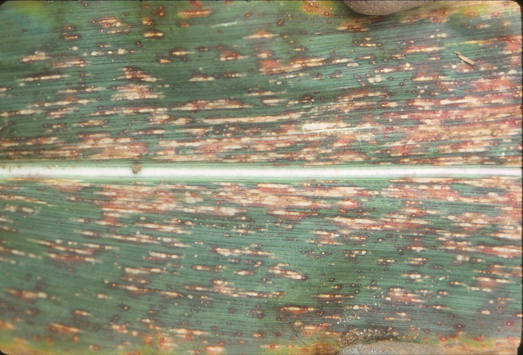 Northern corn leaf spot race 3 lesions.