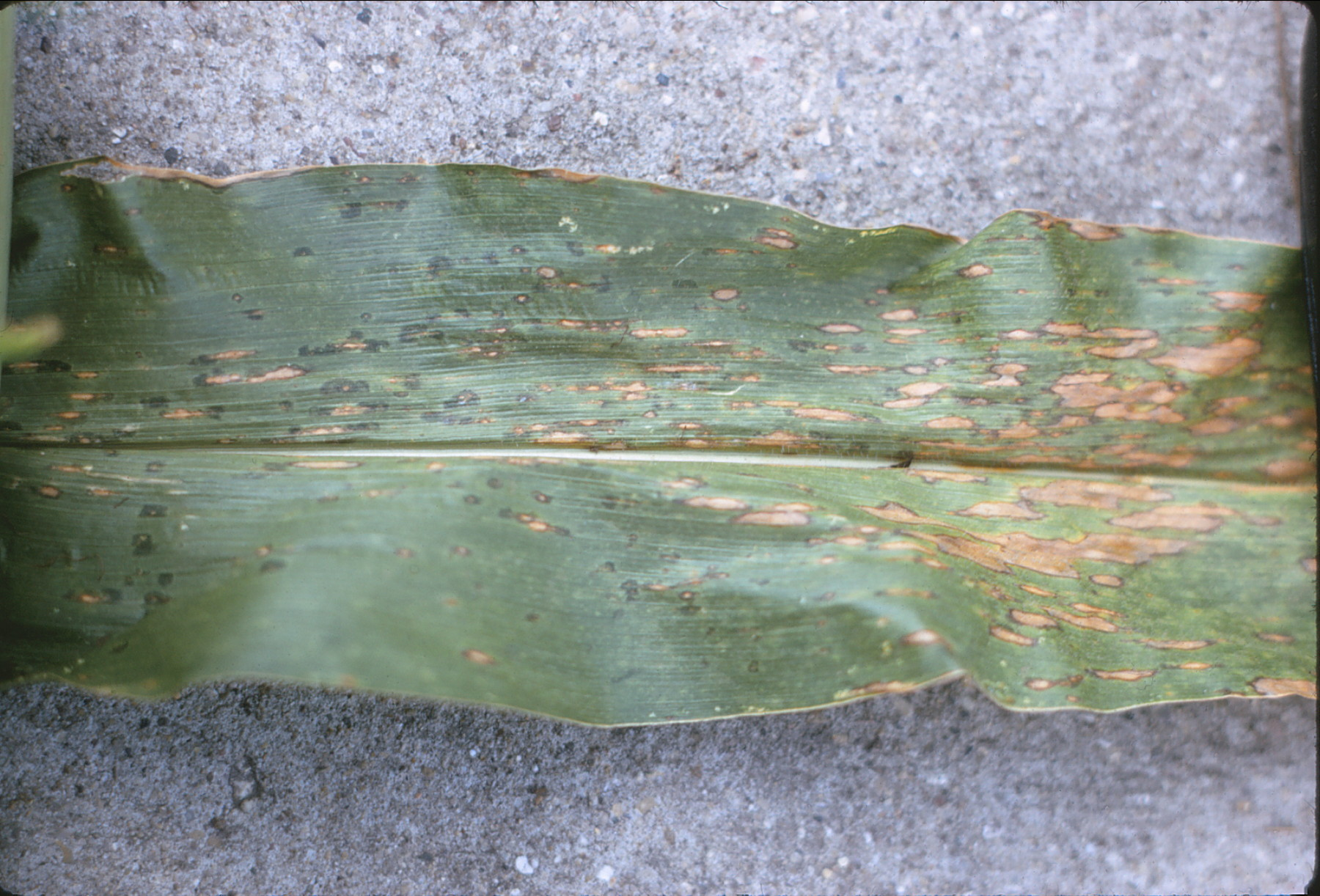 Early southern corn leaf blight lesions.