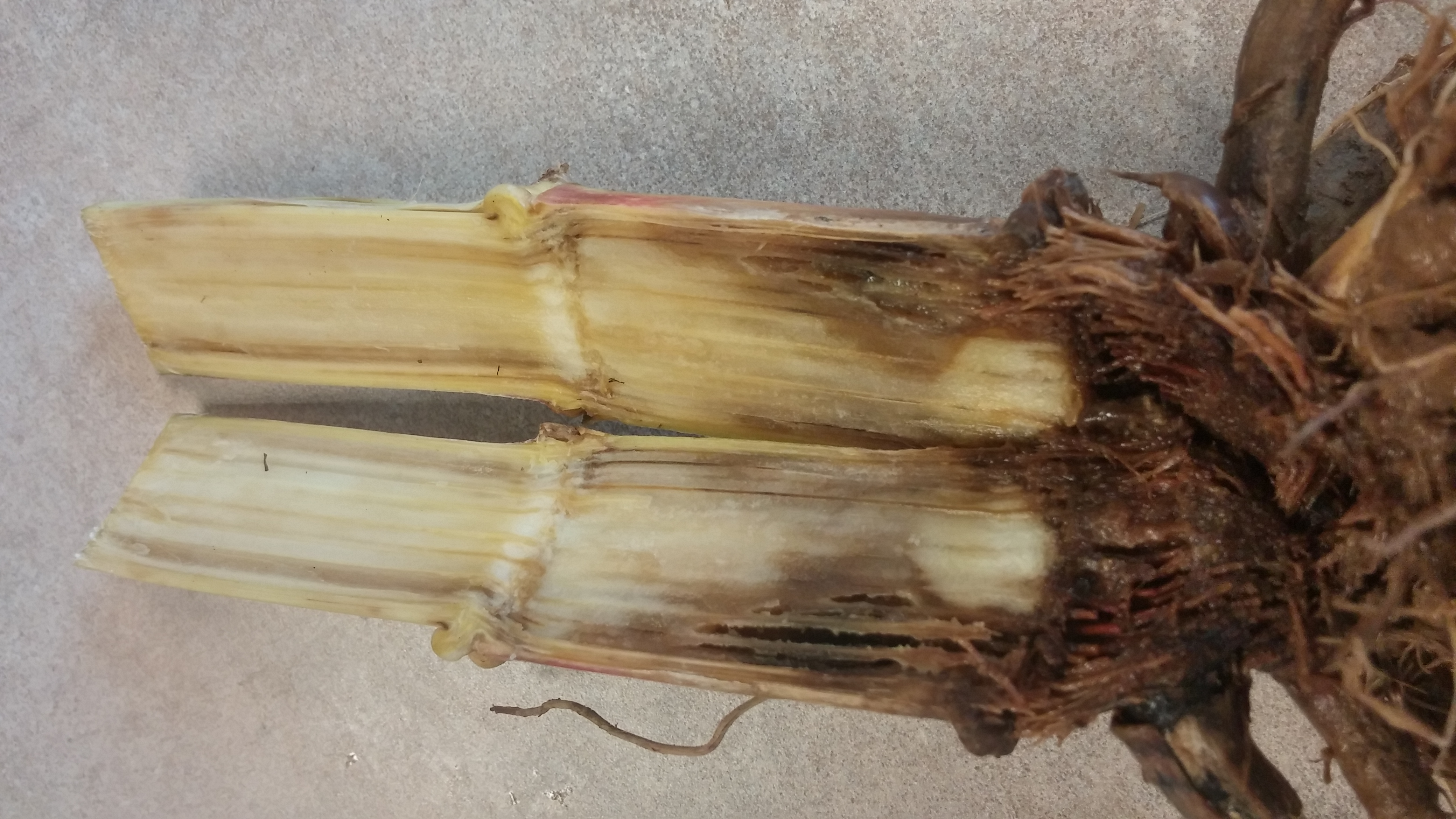 Rot and discoloration symptomatic of Fusarium root rot.