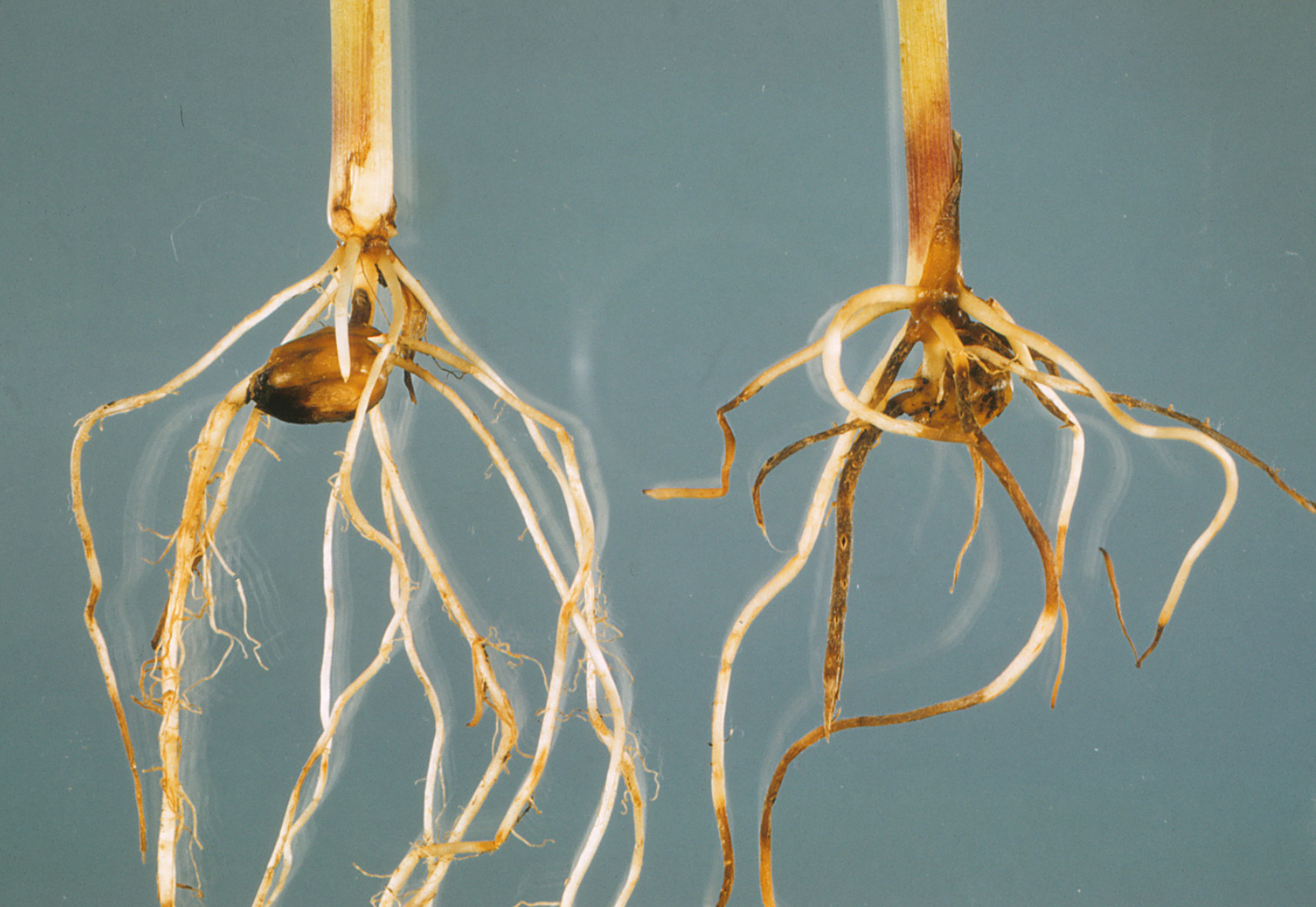 Rotted roots resulting from Pythium infection.
