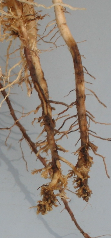 Nematode-injured corn roots.