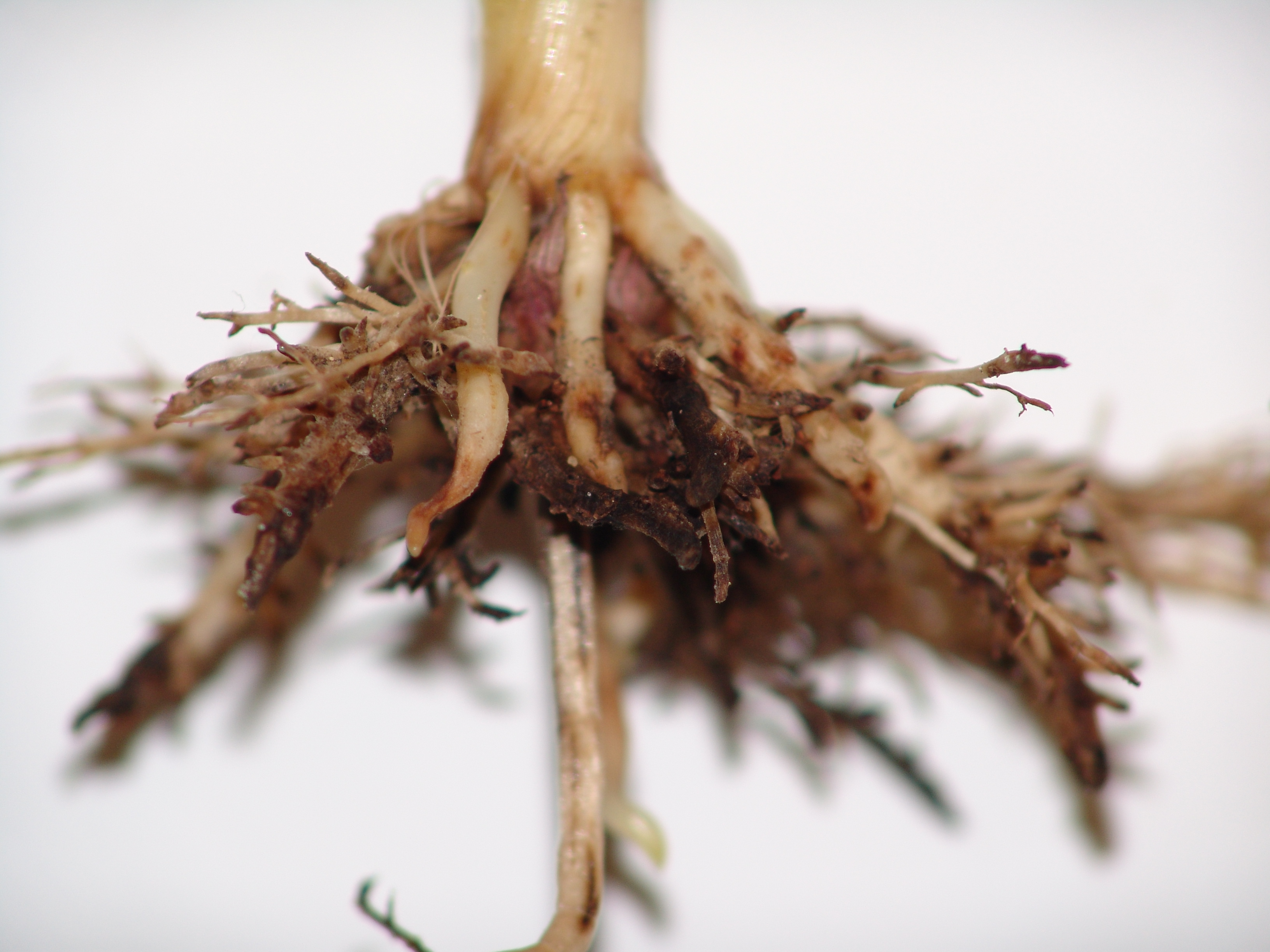 Nematode injured roots can be stunted, swollen, and malformed. They may also have lesions.