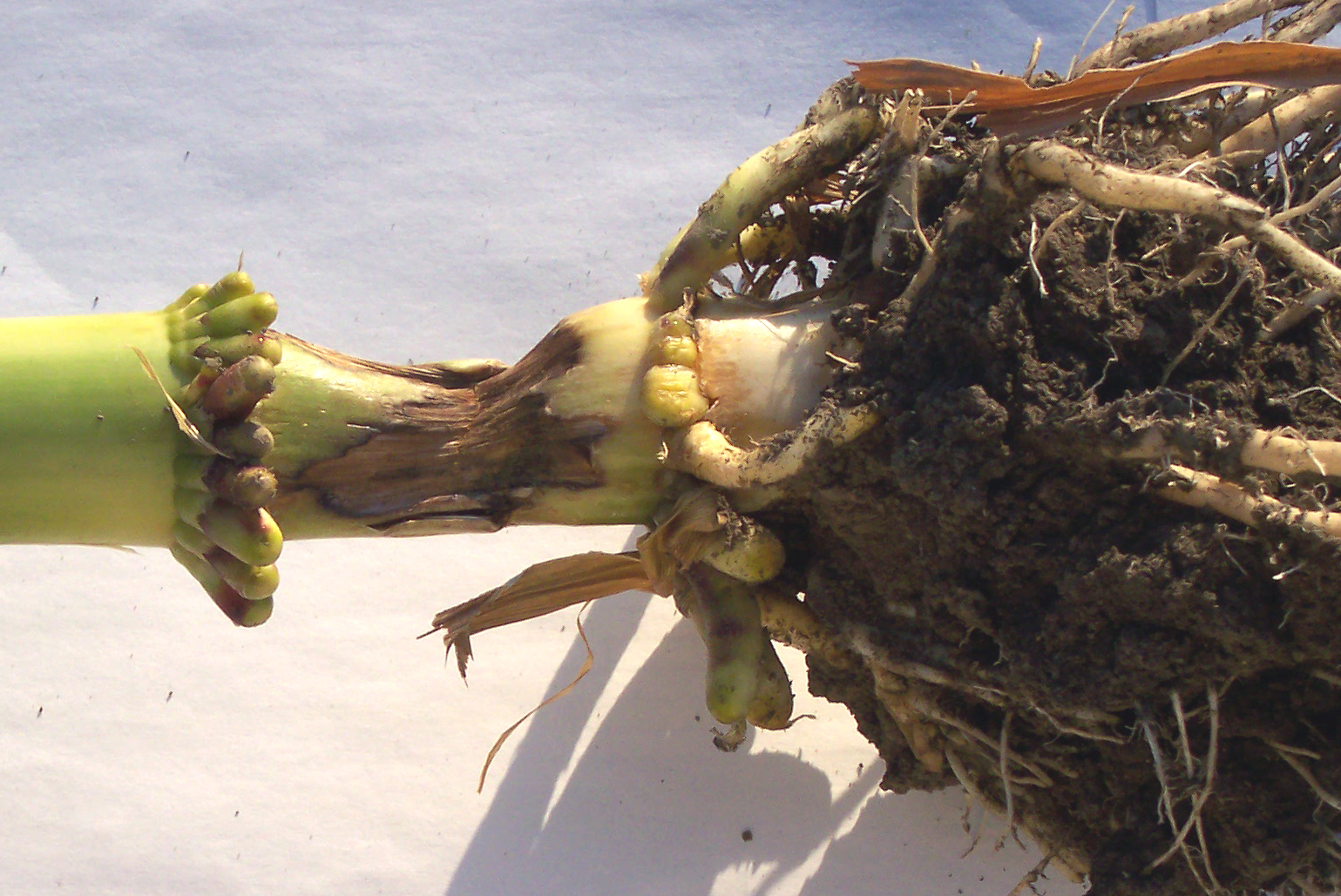 Pythium stalk rot can cause the stalk to twist and falls over.