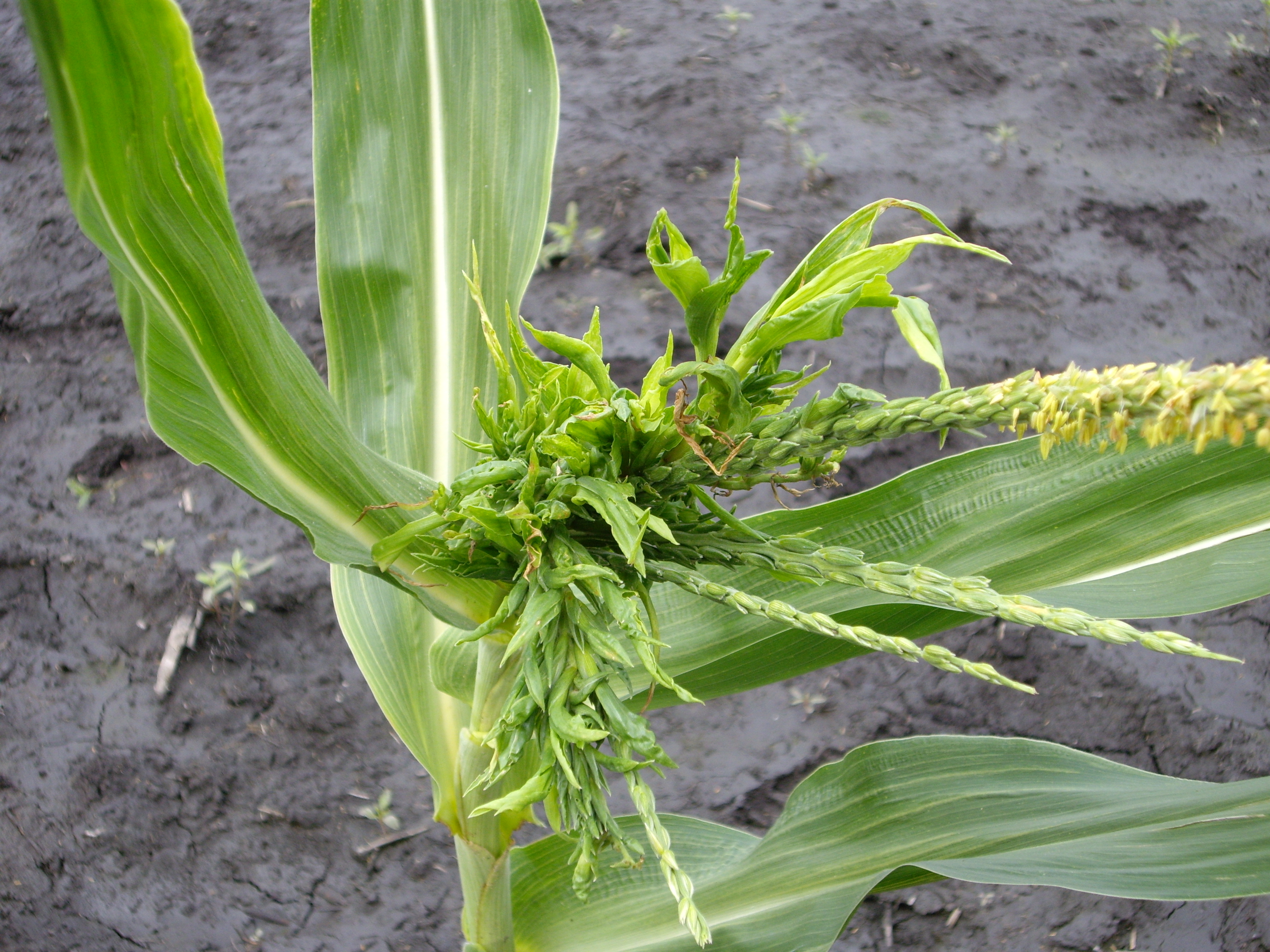 Leaves below the tassel may proliferate, resulting in a bushy appearance of the plant top.