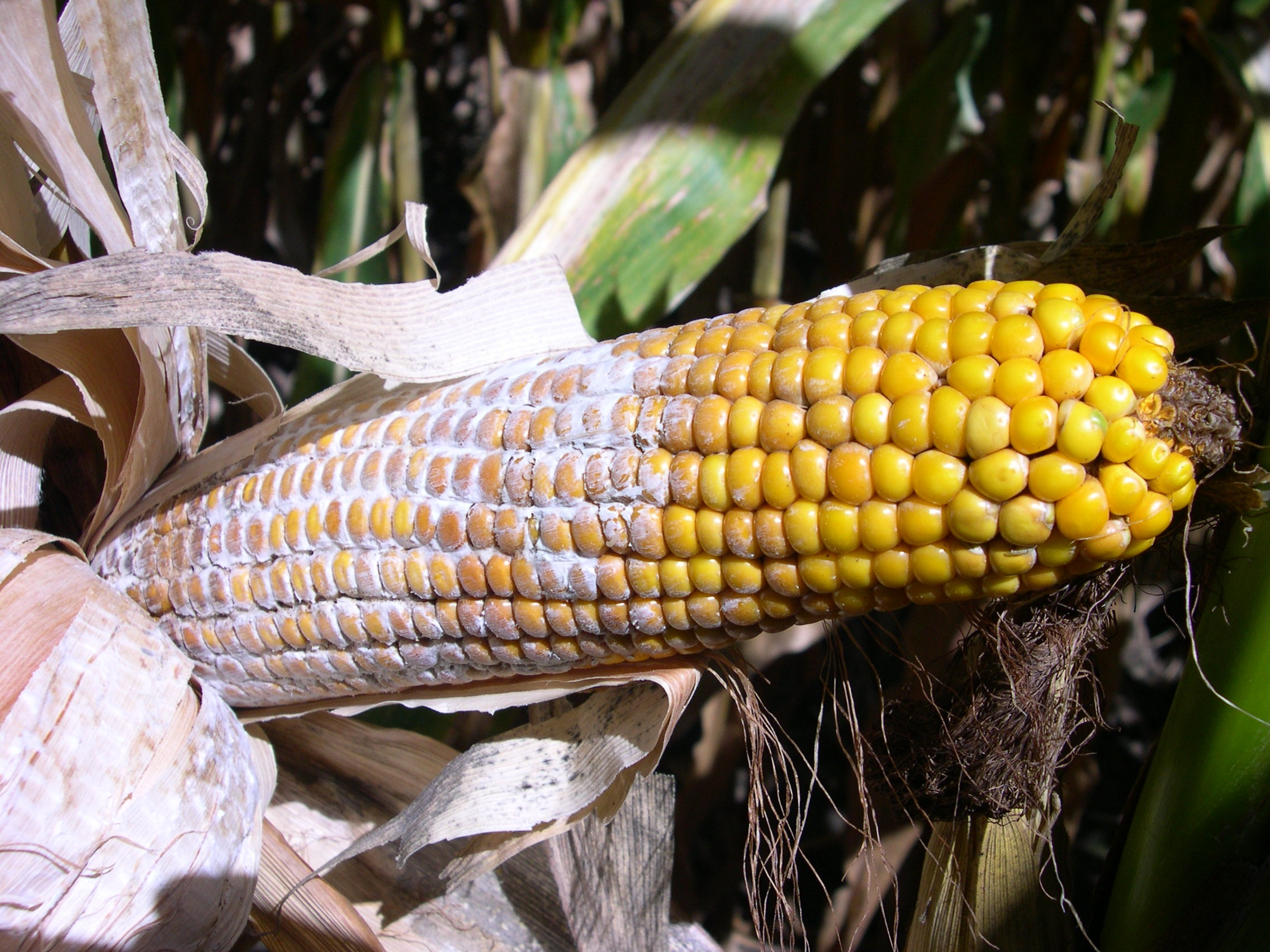 Diplodia ear rot appears as white mold growing on corn ears.