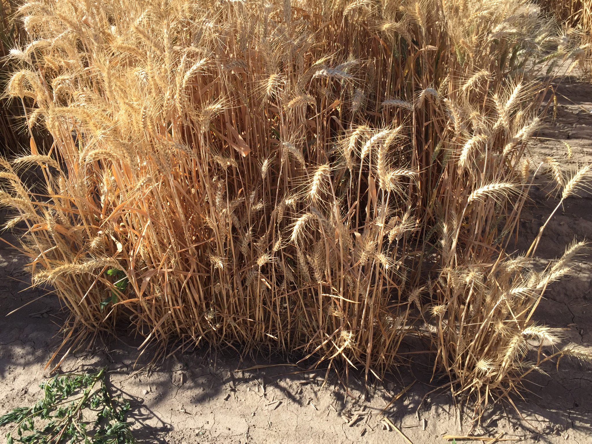 Wheat plant stunting symptomatic of dwarf bunt.