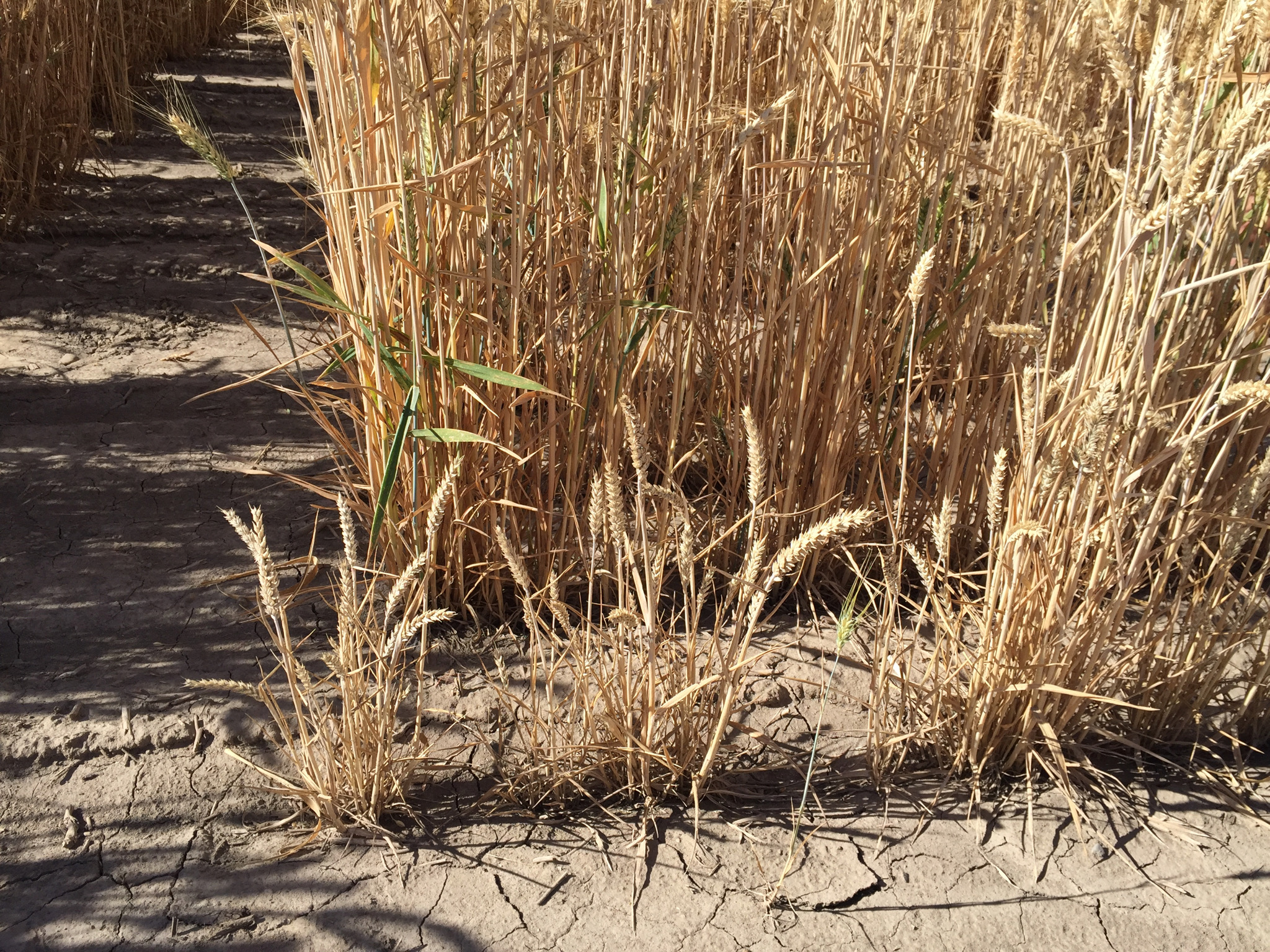 Dwarf bunt typically only impacts winter wheat.