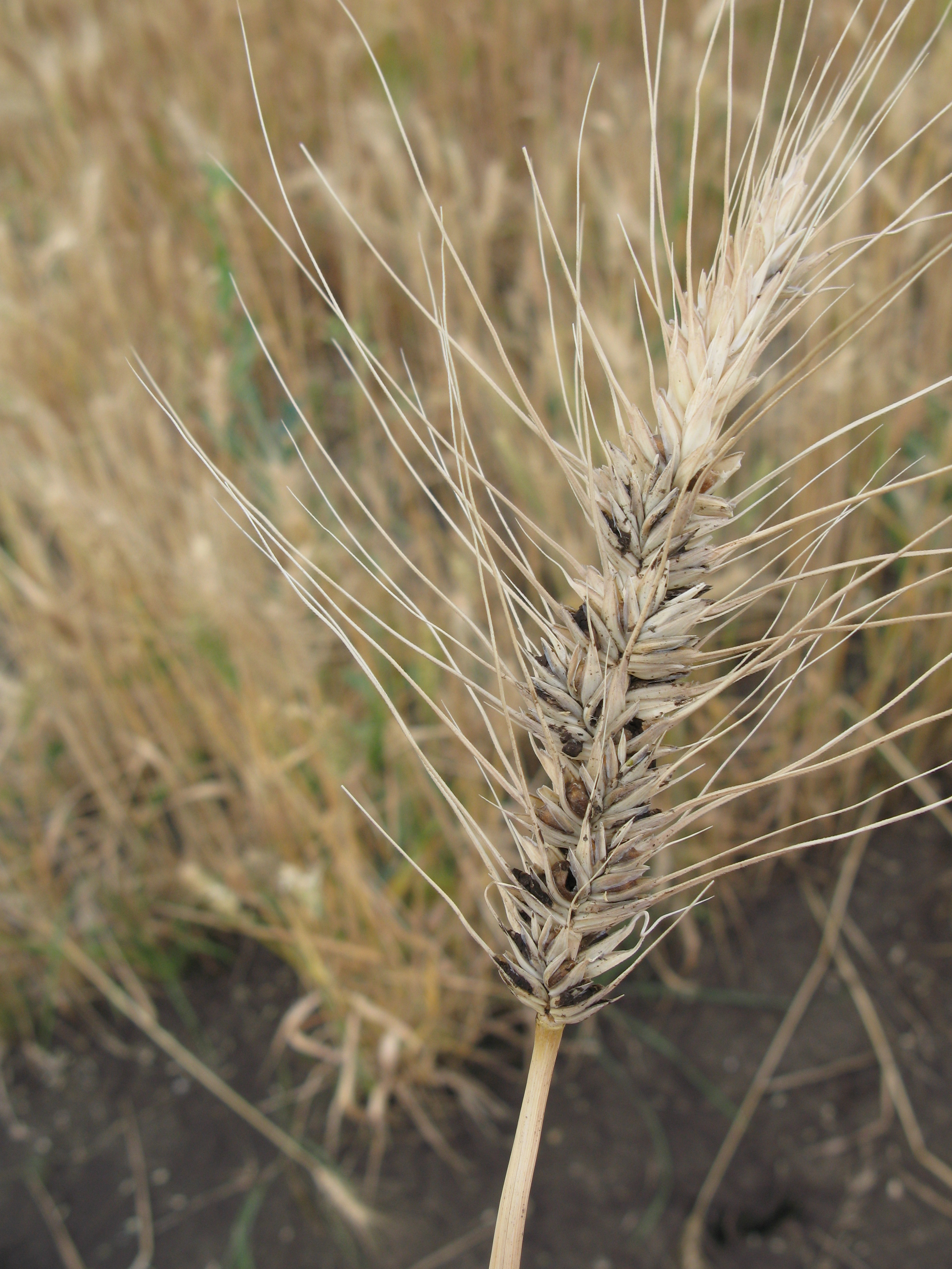 Infected wheat head with dwarf bunt signs.