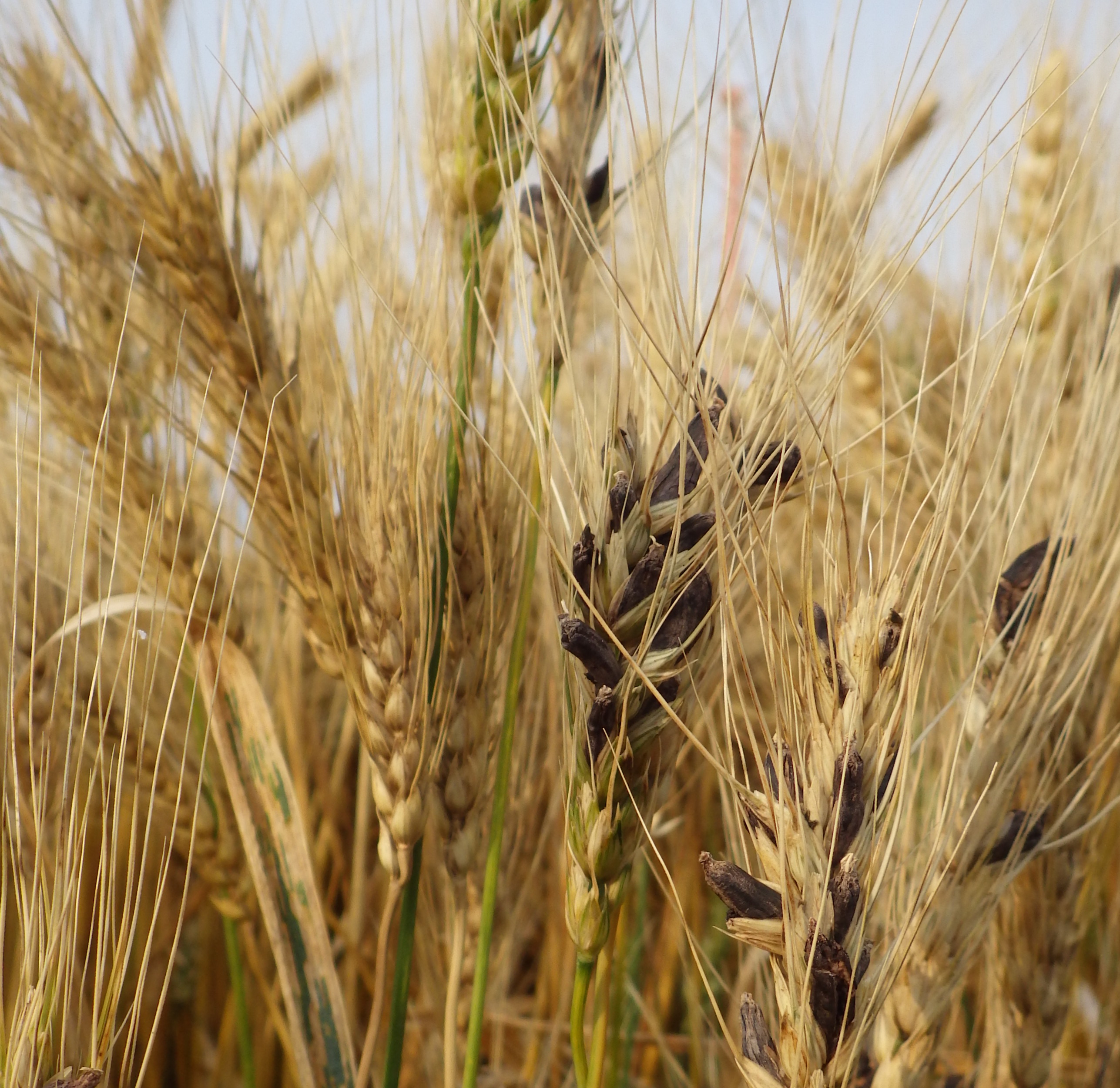 Wheat kernels replaced by fungal growth indicative of ergot.