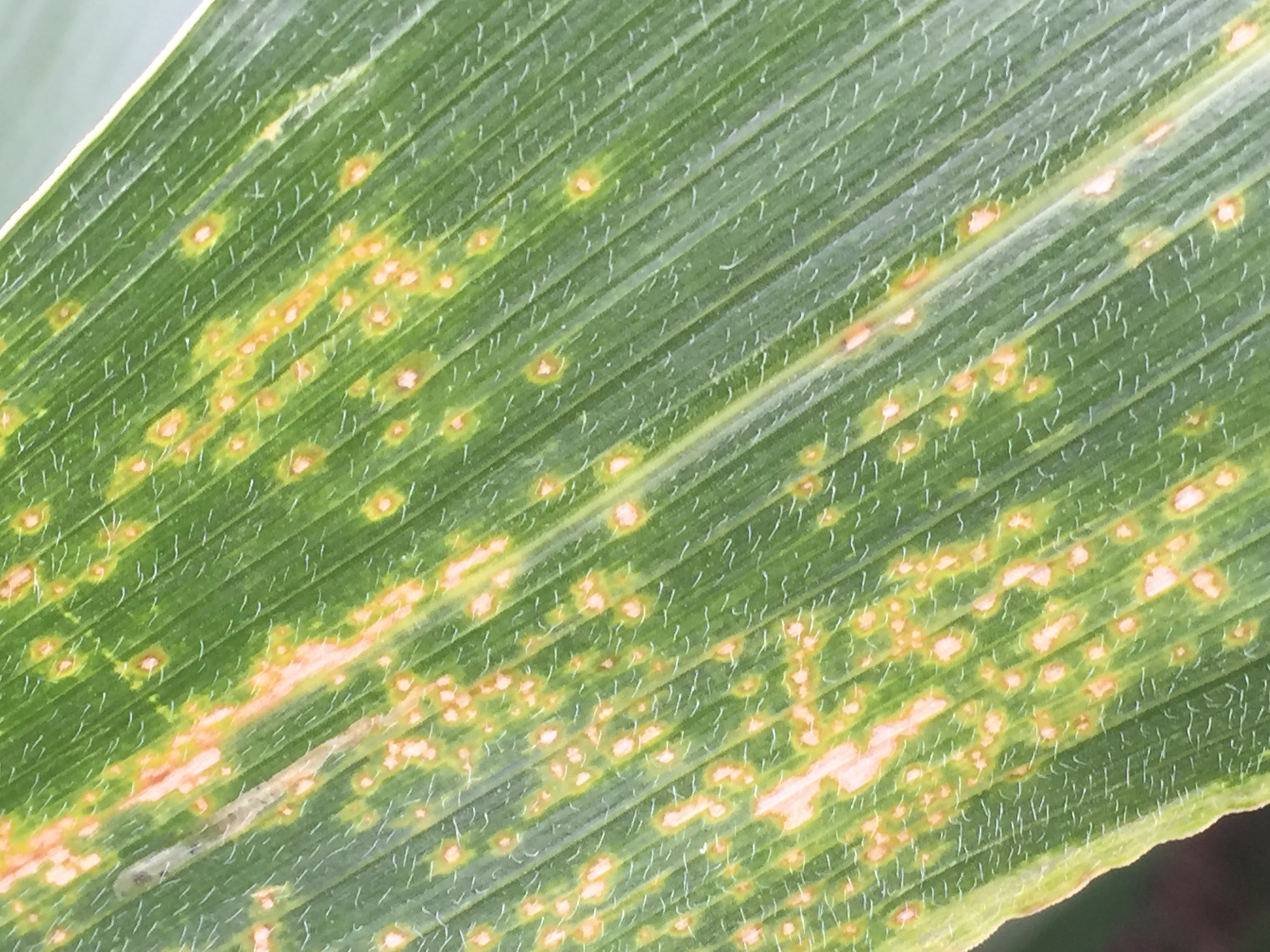 Eyespot lesions on corn leaf.