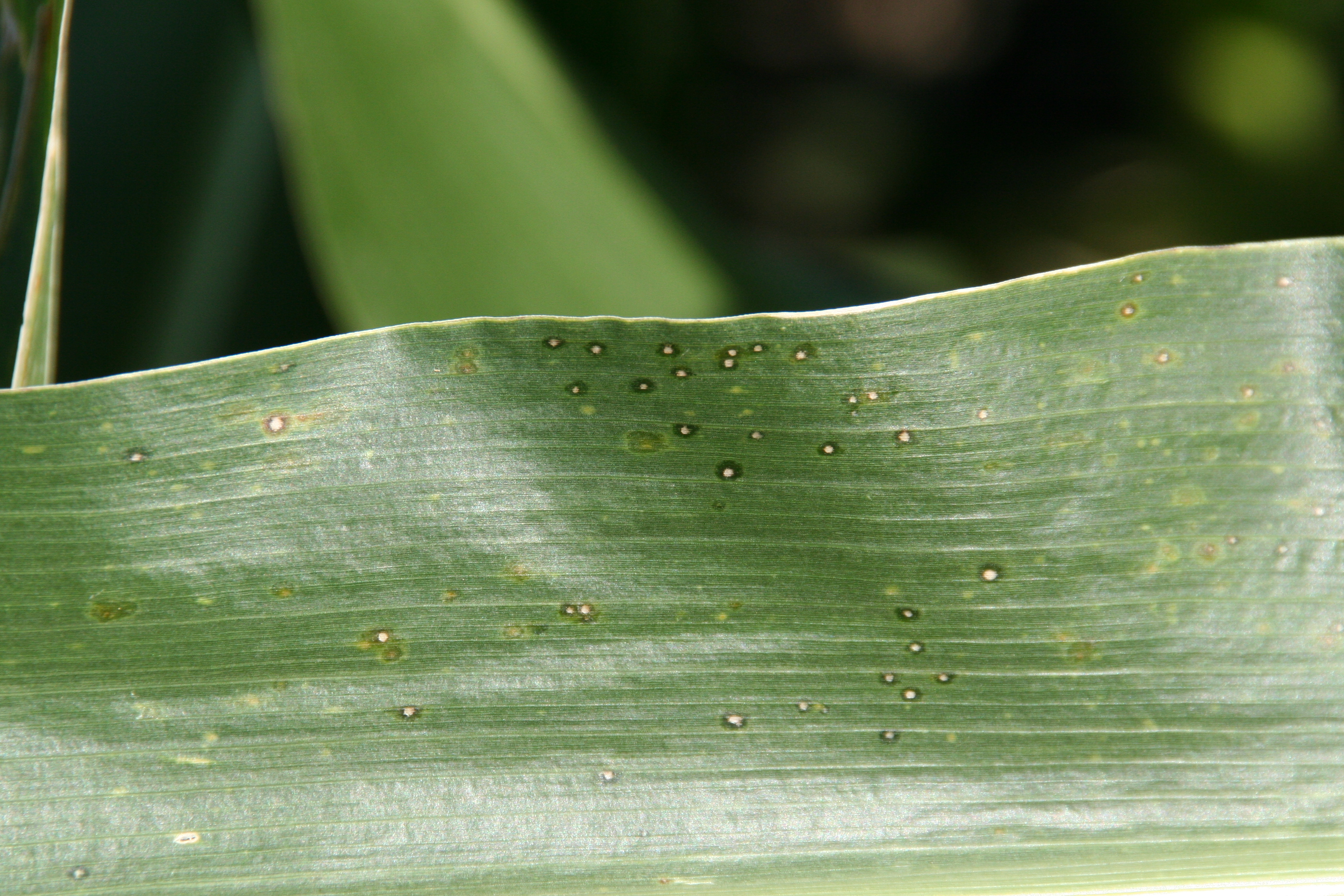 Initial symptoms of eyespot are small, water-soaked or chlorotic circular spots on leaves.
