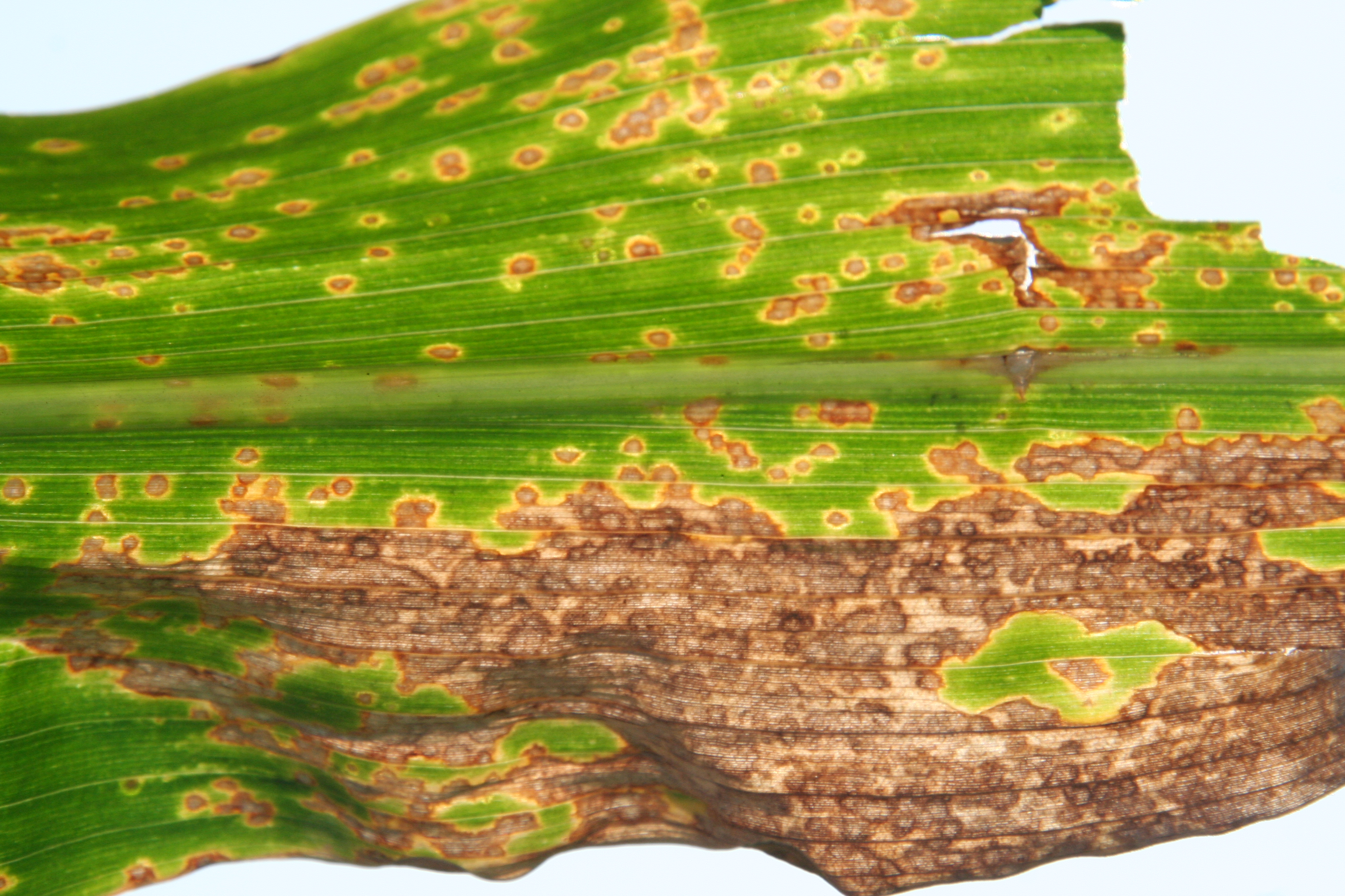 Eyespot lesions may join together into large necrotic areas and the entire leaf may die.