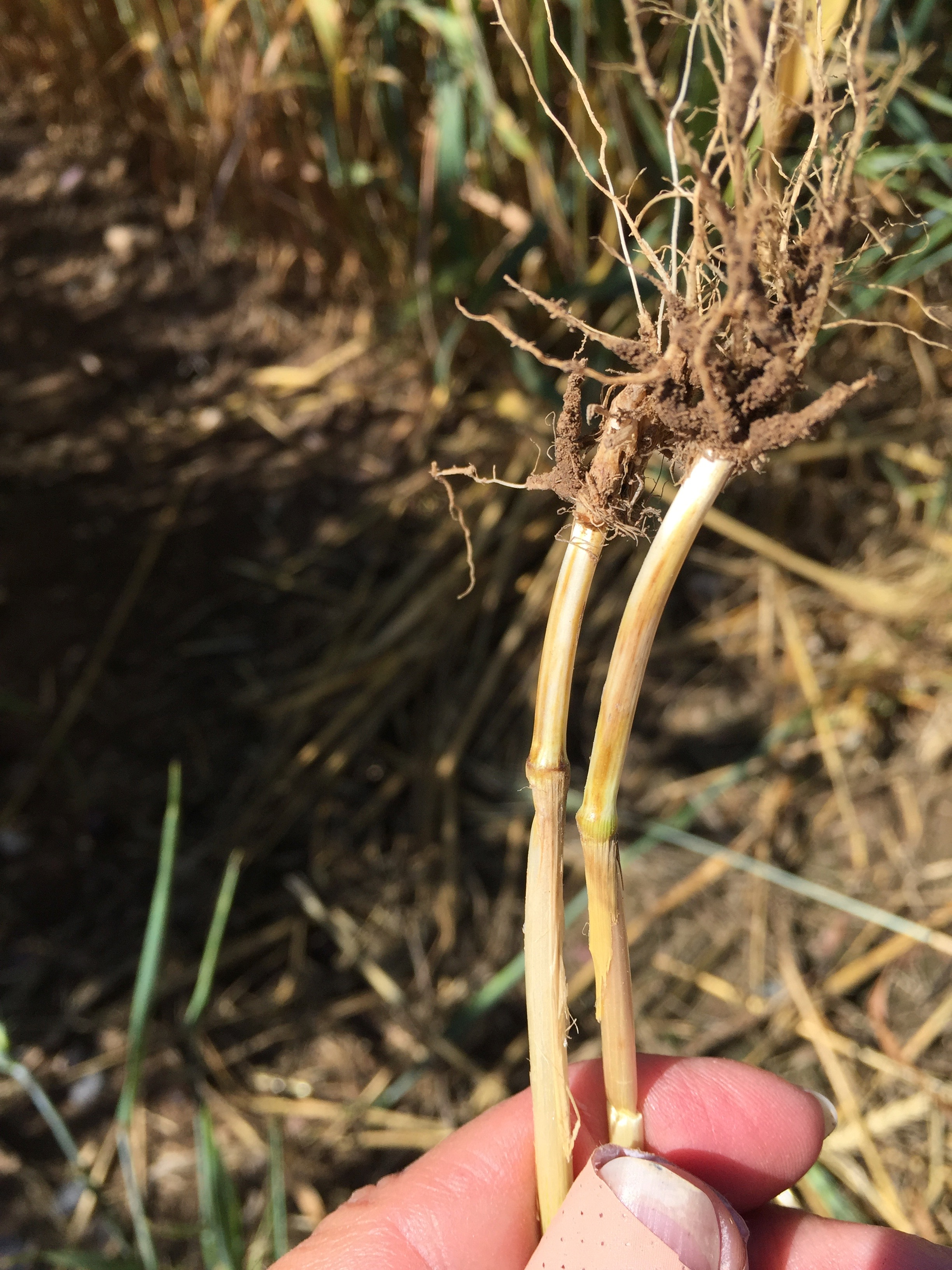Stem lesions near soil indicative of Fusarium root, crown, and foot rot.
