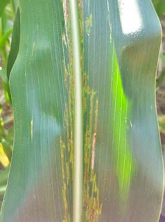 Narrow leaf lesions characteristic of bacterial leaf streak.