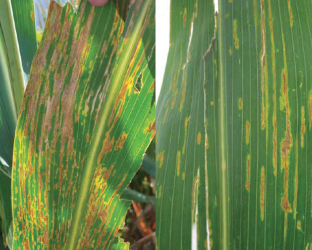 Bacterial leaf streak lesions have visible, bright yellow halos when backlit.