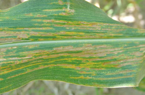 Bacterial leaf streak lesions can expand to cover large areas of the leaf.