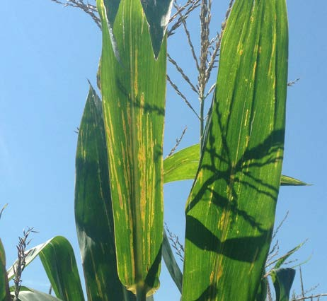 Bacterial leaf streak in the upper canopy is more common after tasseling.