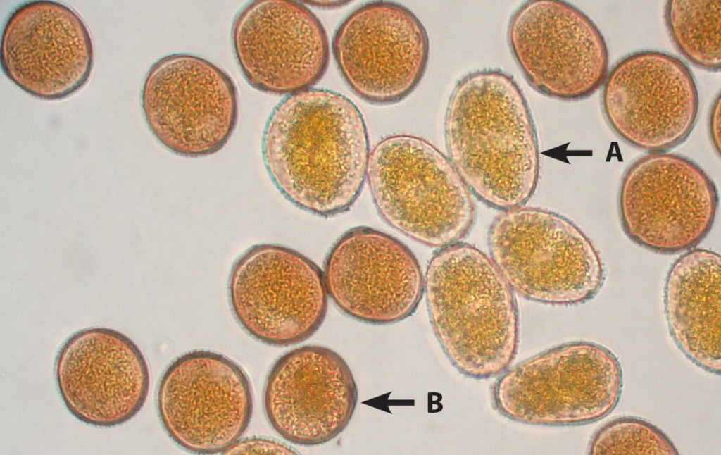 Southern rust spores (A) are lighter and slightly more elongated than common rust spores (B), which